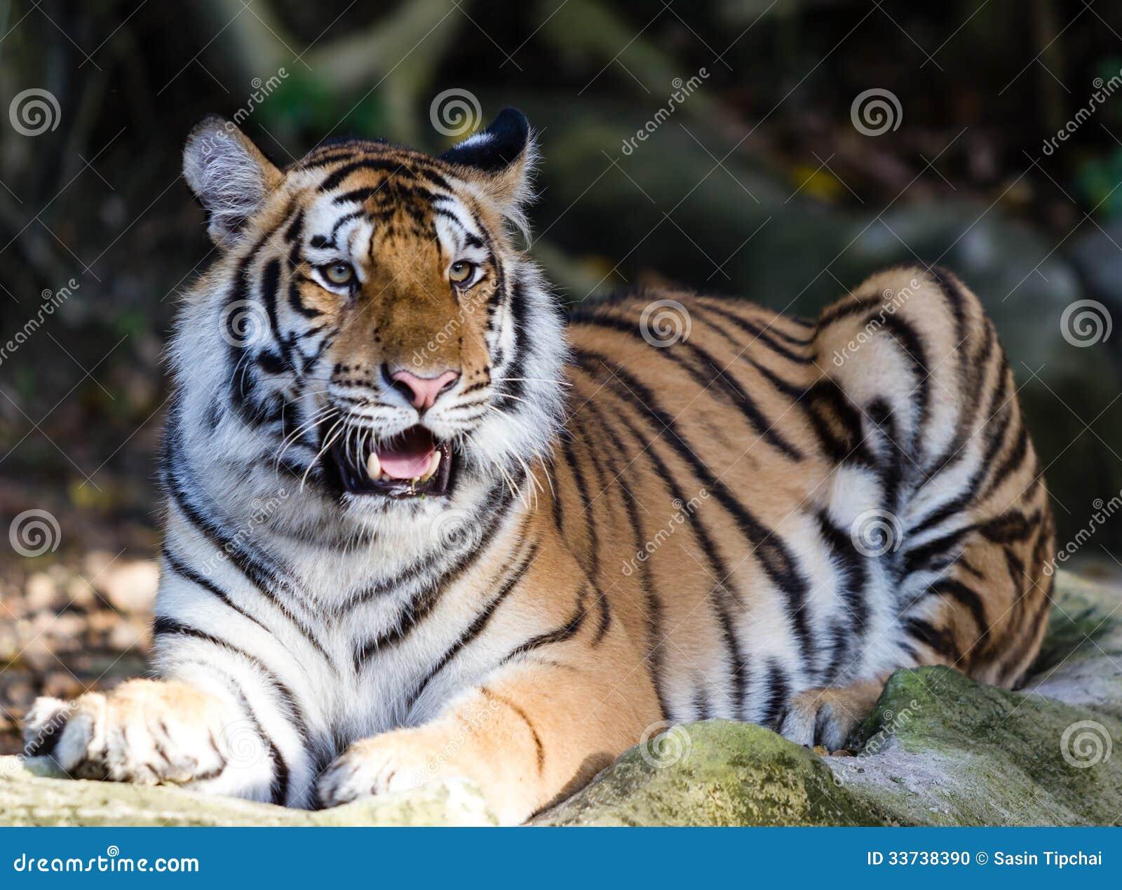Тигры Амура