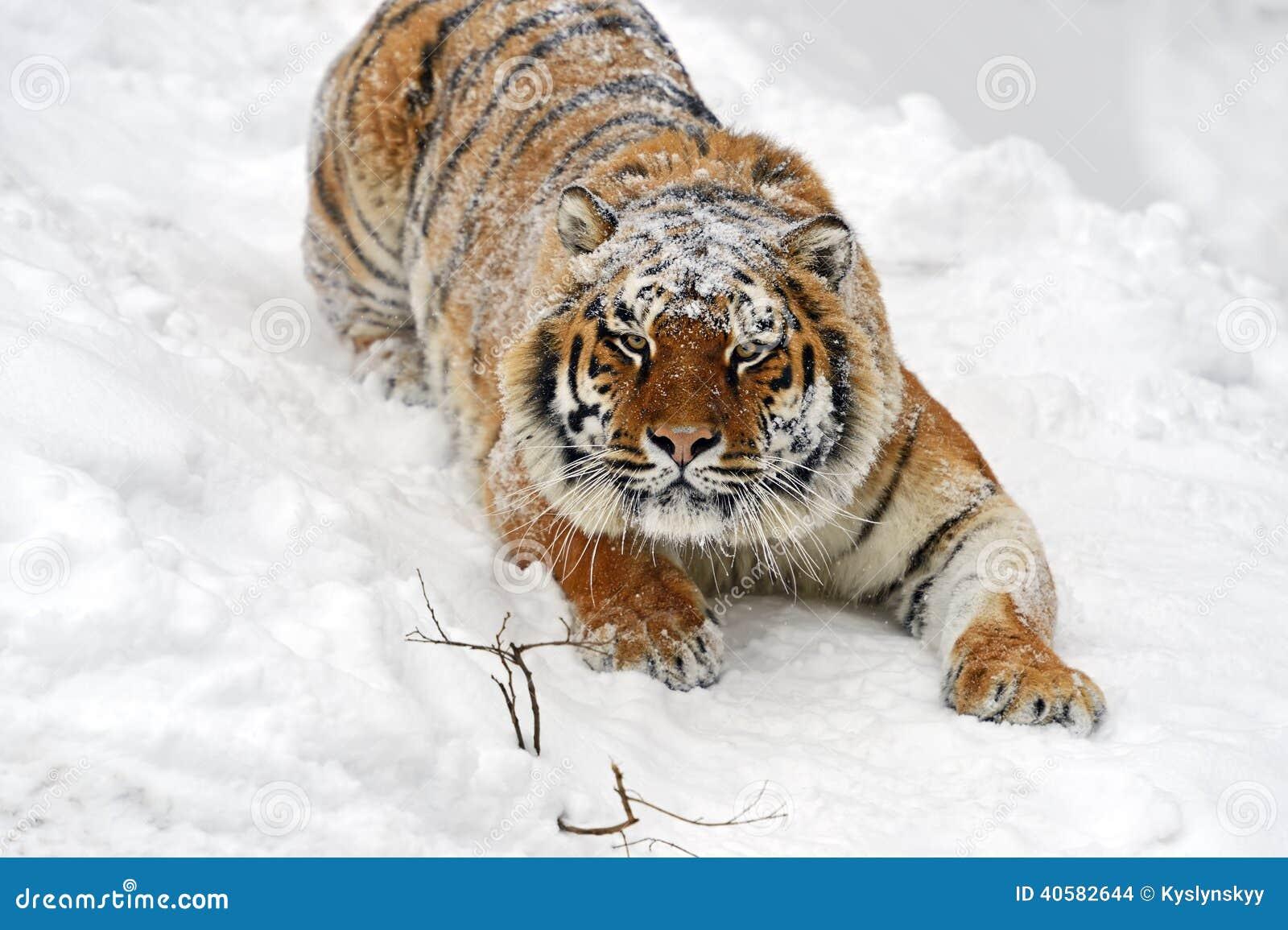 Тигр Амура