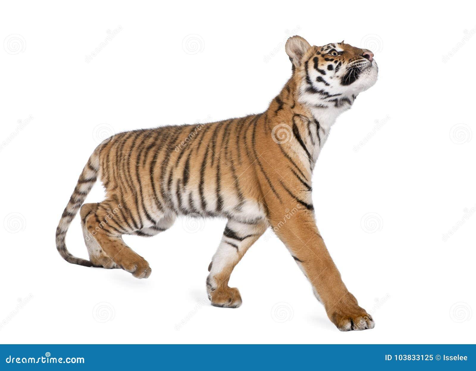 Тигр Бенгалии, пантера Тигр Тигр, 1-ти летний