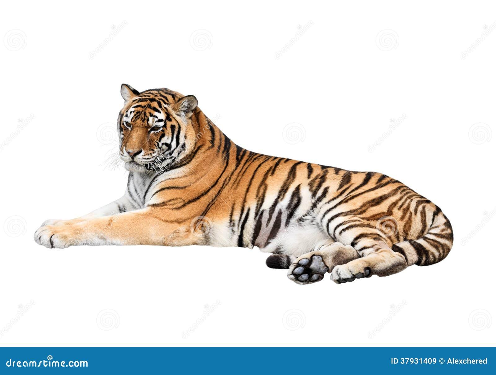 Тигр изолированный на белой предпосылке