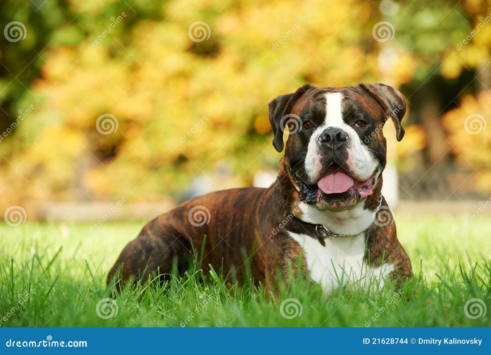 тигр немца одного собаки боксера