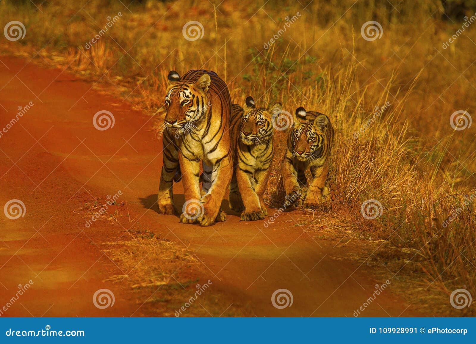 Тигр, пантера Тигр Женщина Hirdinala с новичками Запас тигра Tadoba, район Chandrapur