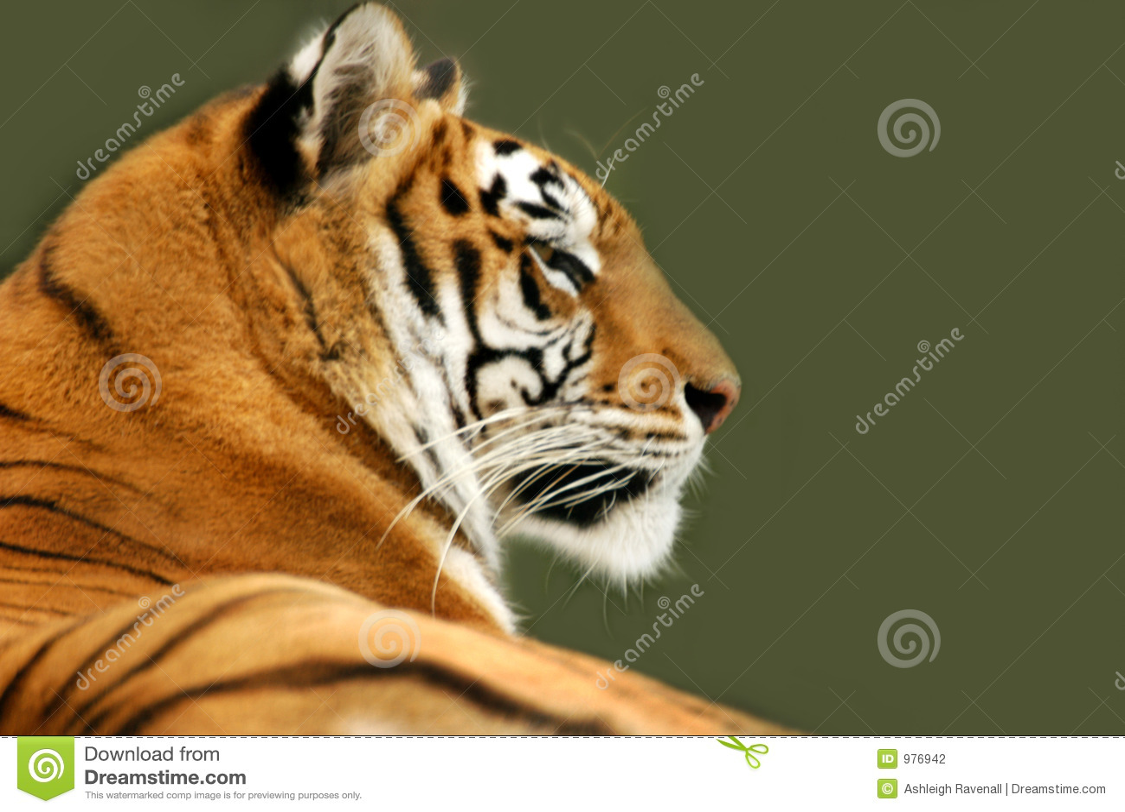 тигр профиля