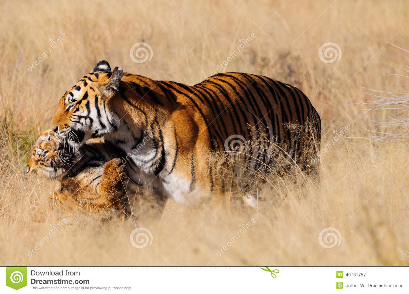 Тигр с ее новичком