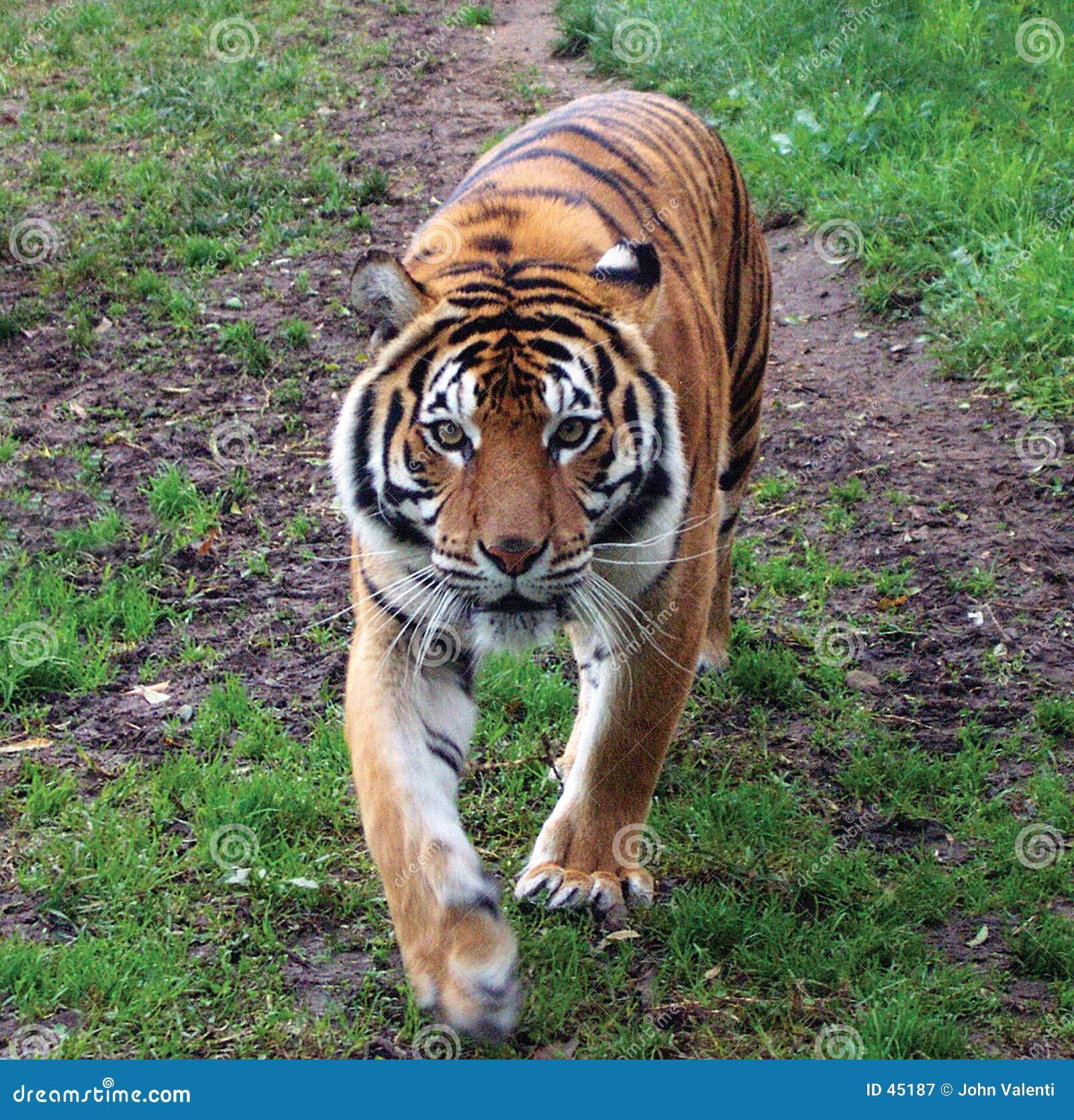 тигр sumatran