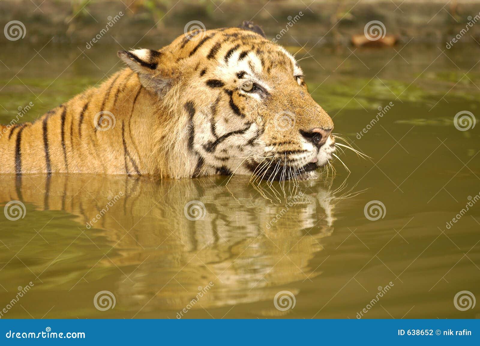 Download тигр sumatran стоковое фото. изображение насчитывающей sumatran - 638652