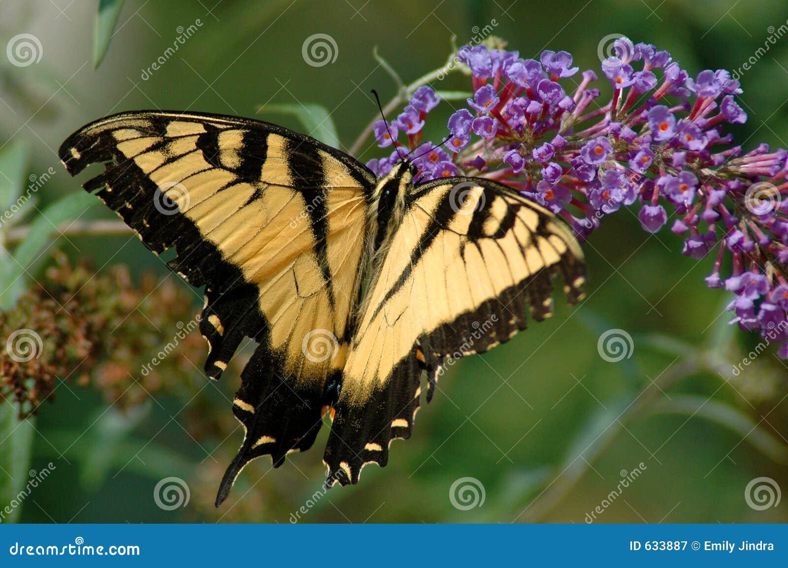 Download тигр swallowtail стоковое изображение. изображение насчитывающей yellow - 633887