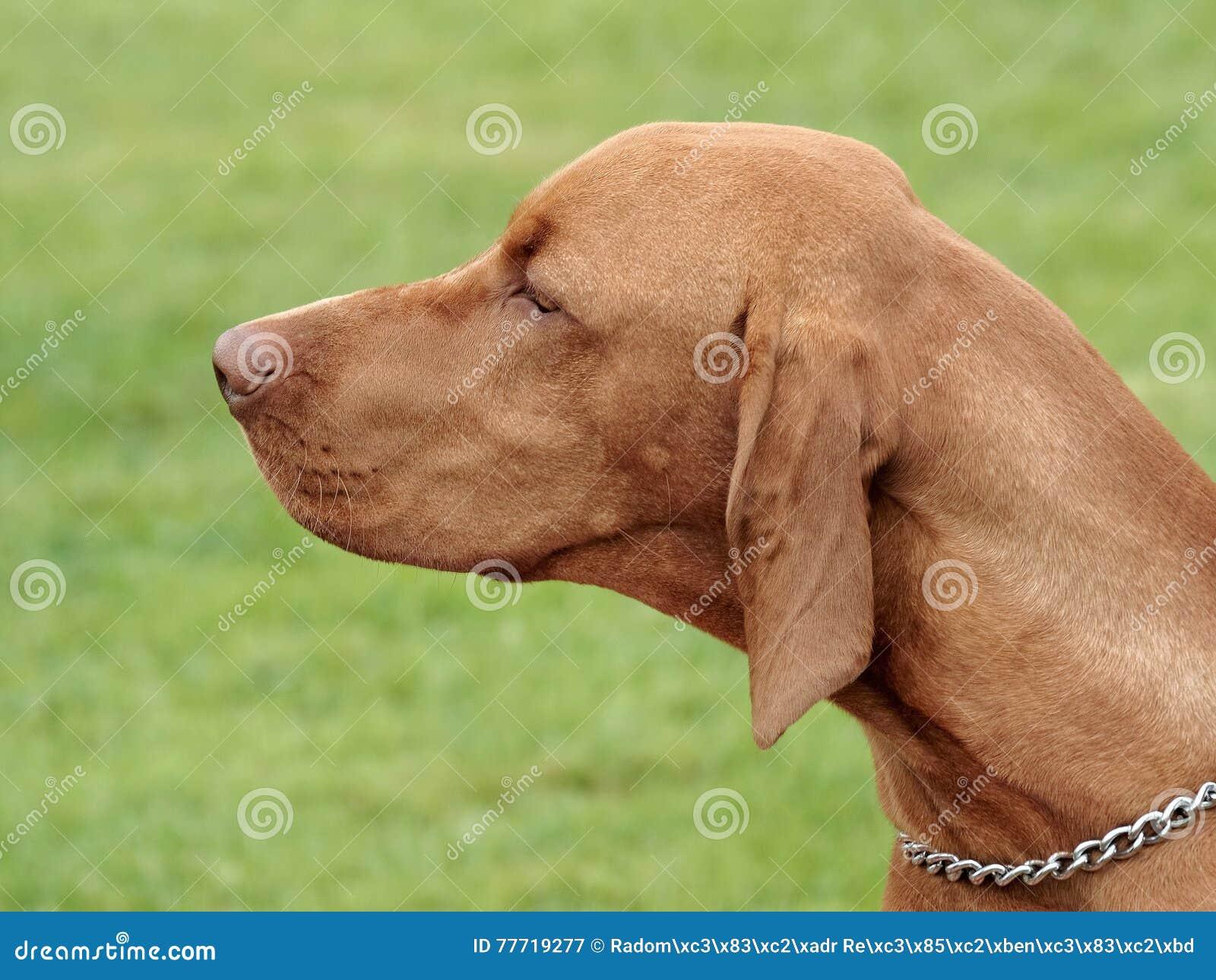Типичная венгерская Коротк-с волосами указывая собака в саде
