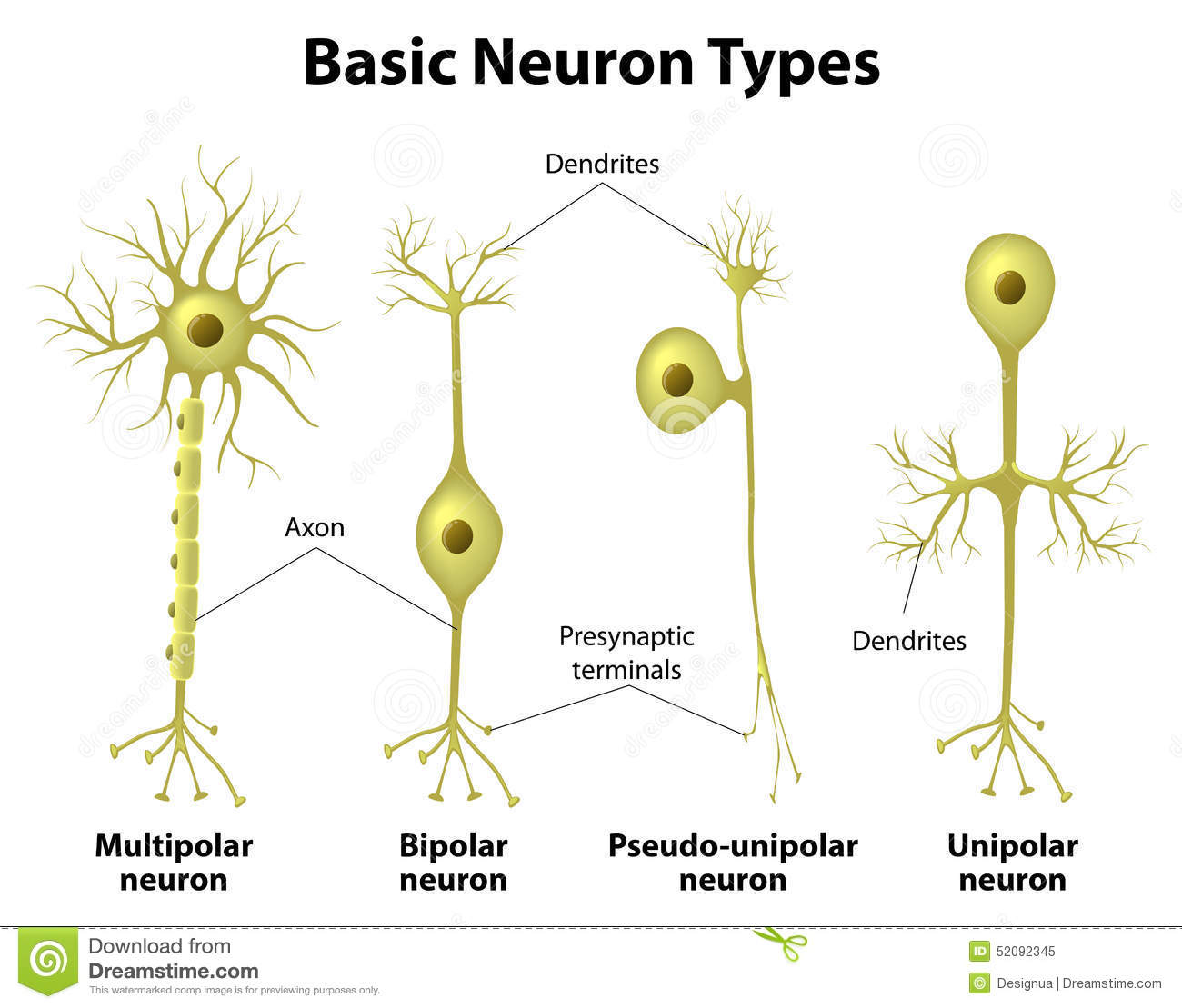 contrast unipolar bipolar and multipolar neurons structually Unipolar neurons, as depicted above, have an axon going towards and from the soma this is also known as having a single neurite these cells can branch to form axons or dendrites depending on need in its environment.