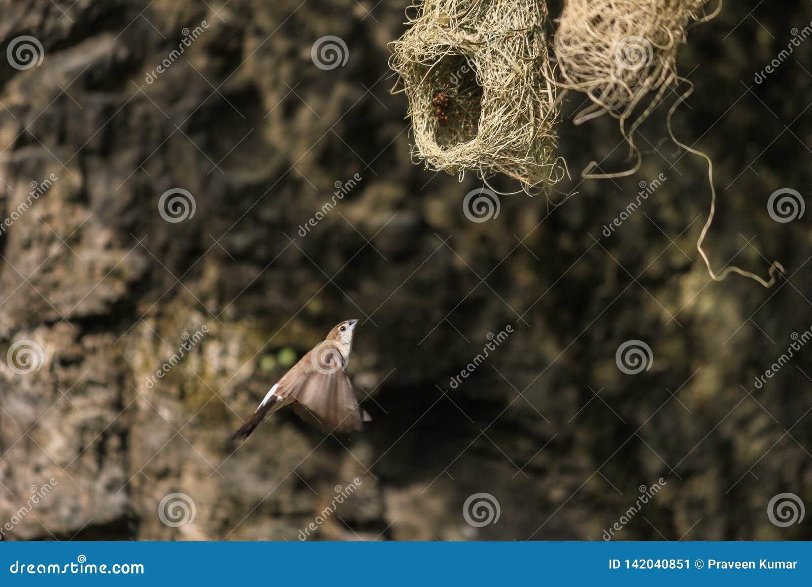 Ткач Baya, женская небольшая птица летая назад к своему гнезду для того чтобы кормить свои цыпленоки