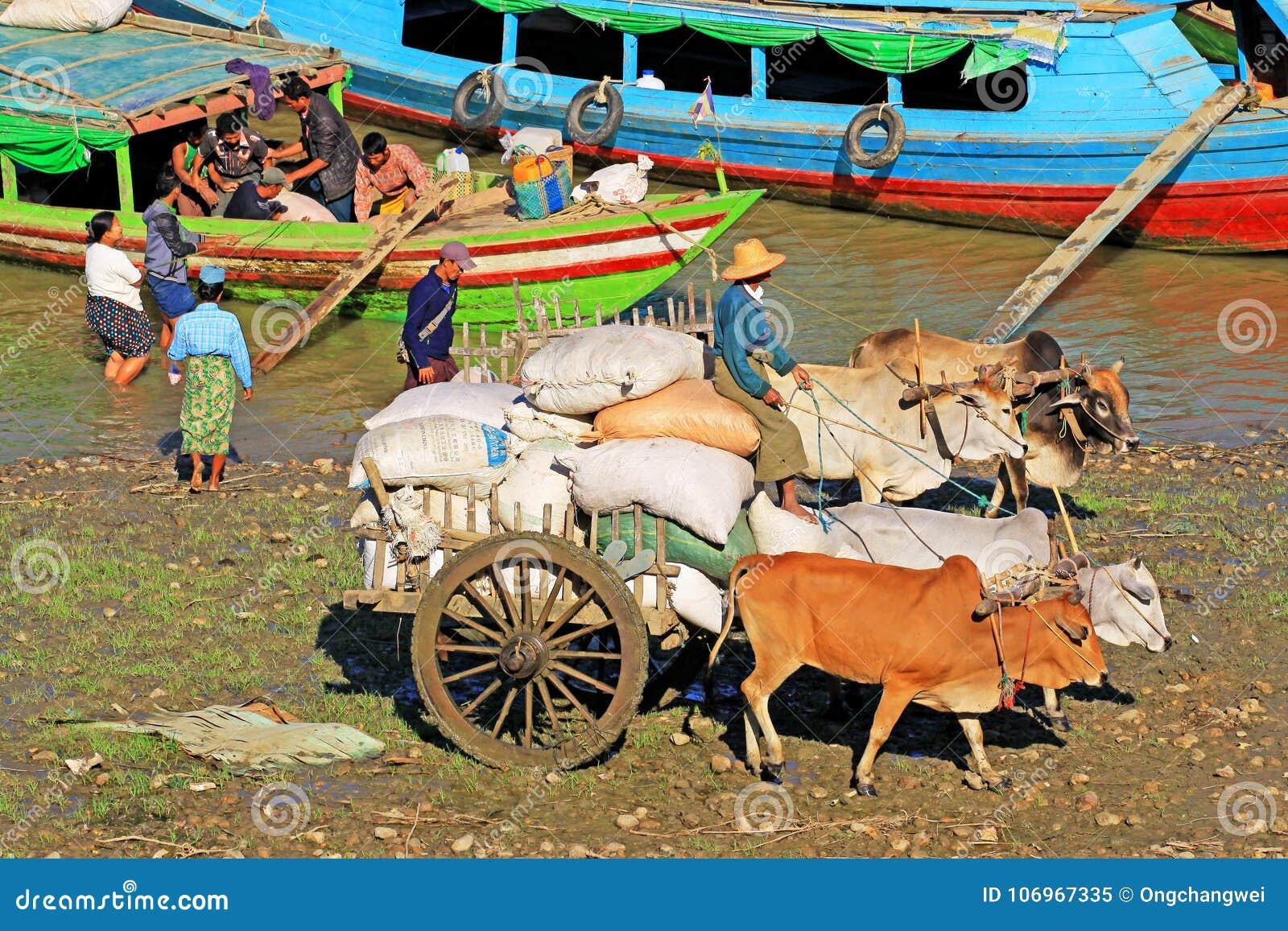 Товары перехода скотин на речном береге реки Irrawaddy, Pyay, Мьянме