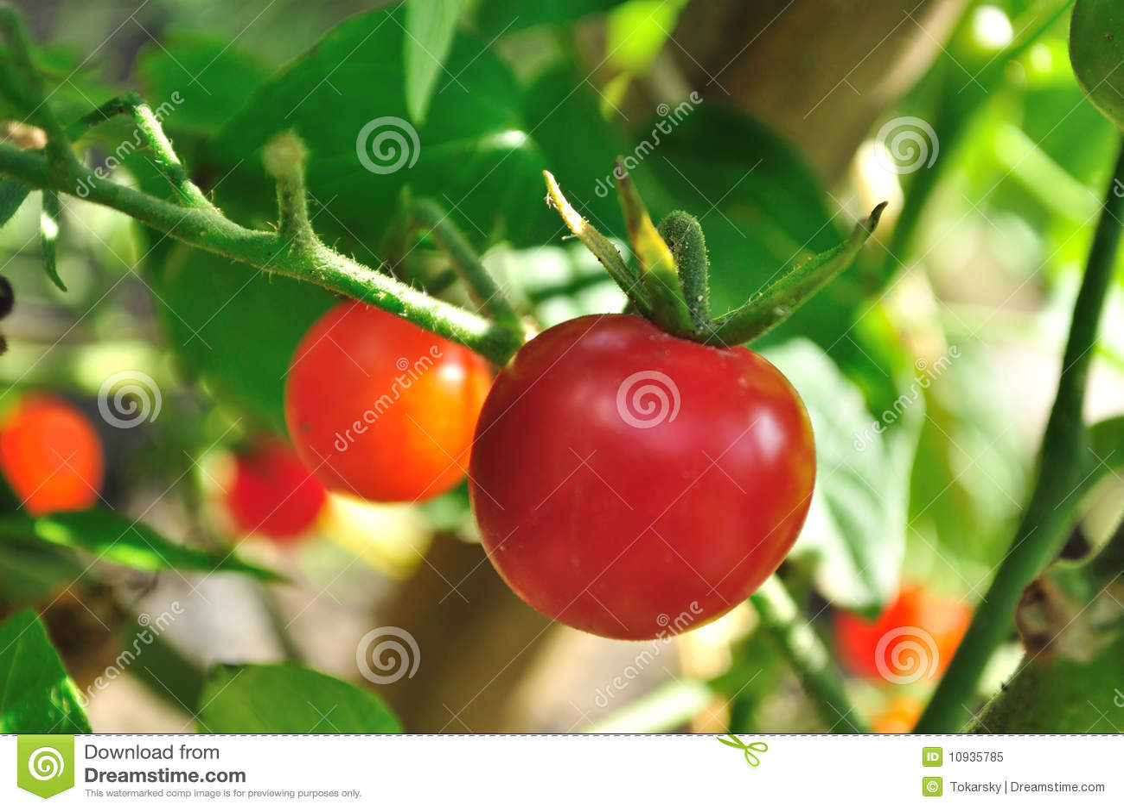 томаты вишни малюсенькие