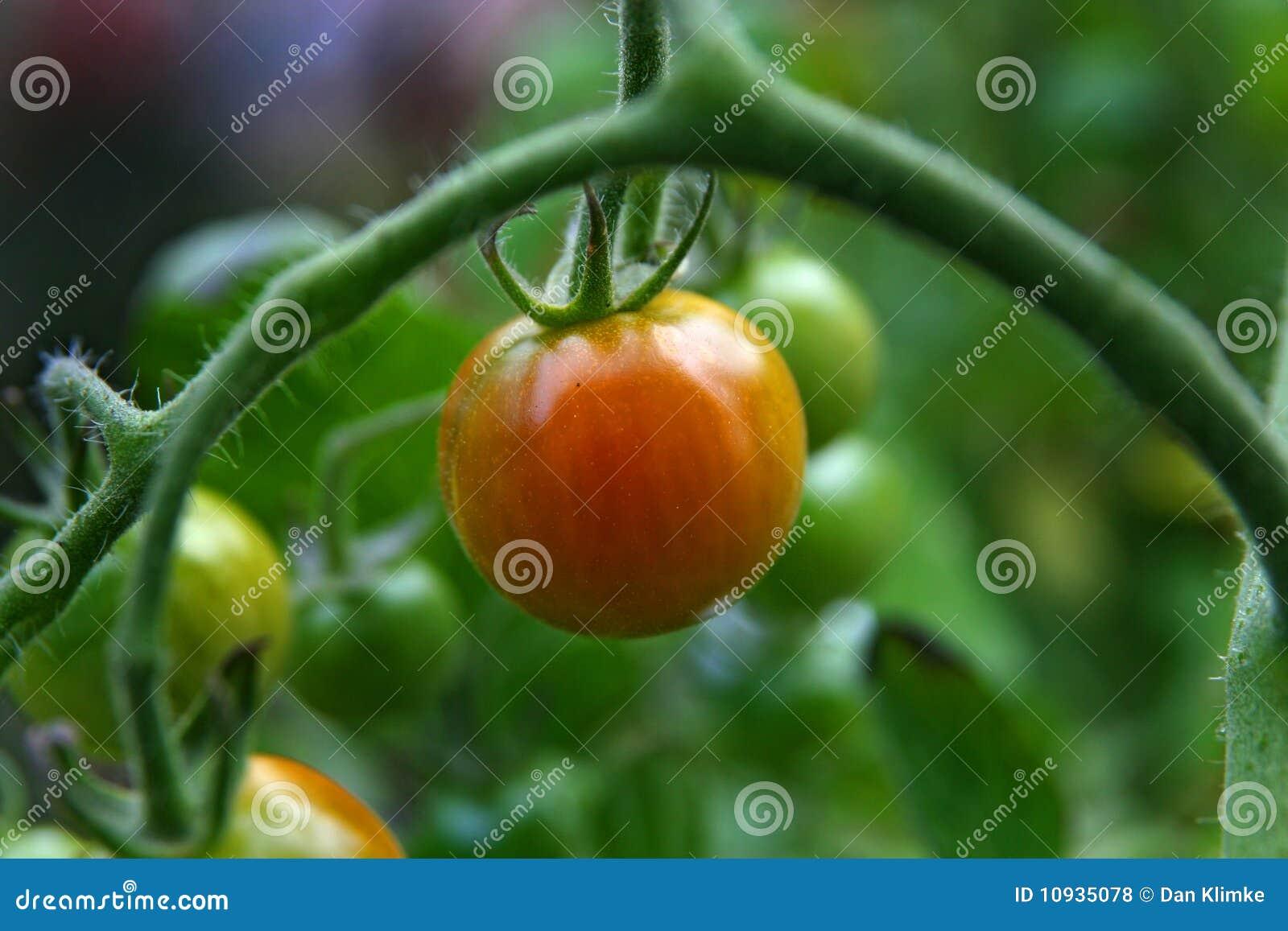 томаты красного цвета вишни зрелые