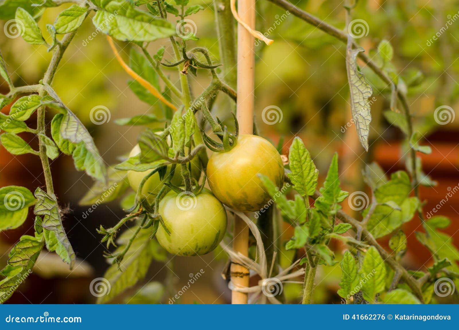 томат вишни зеленый