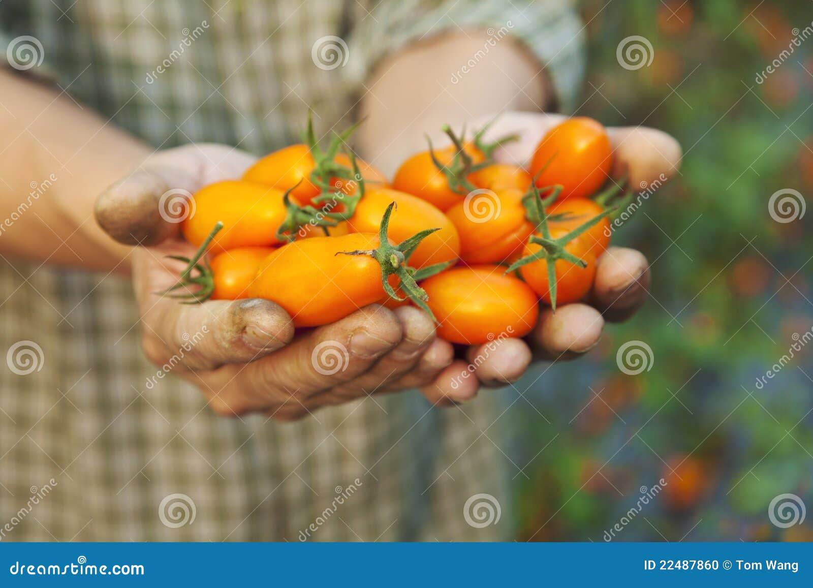 томат удерживания хуторянина свежий