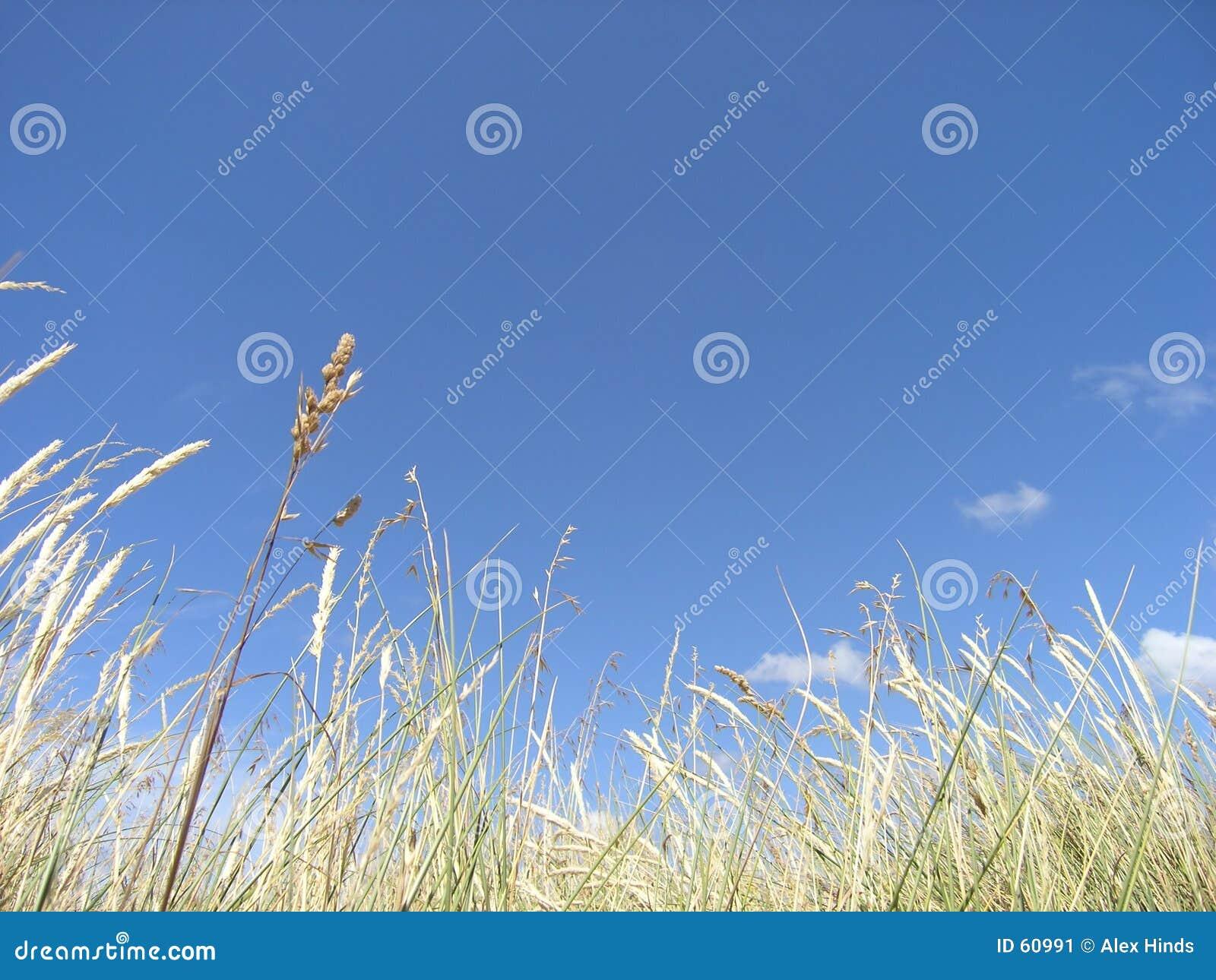 трава высокорослая
