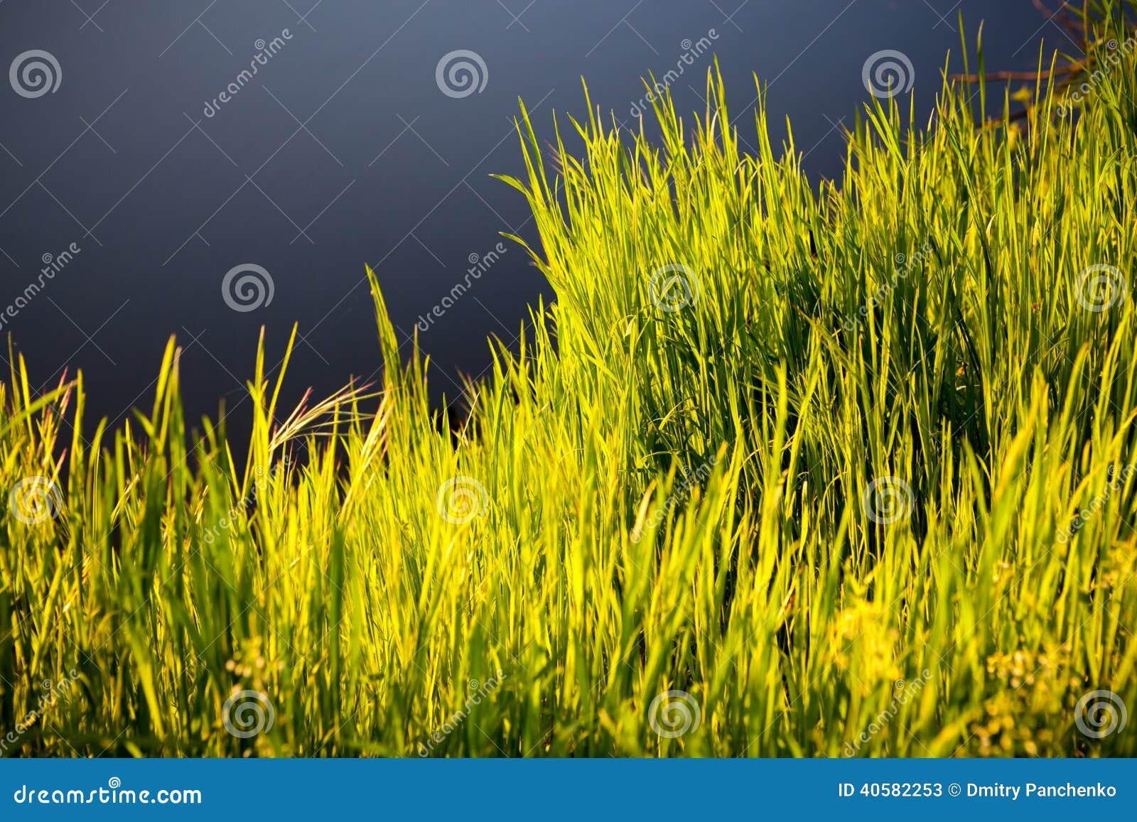 Трава в солнечном свете утра