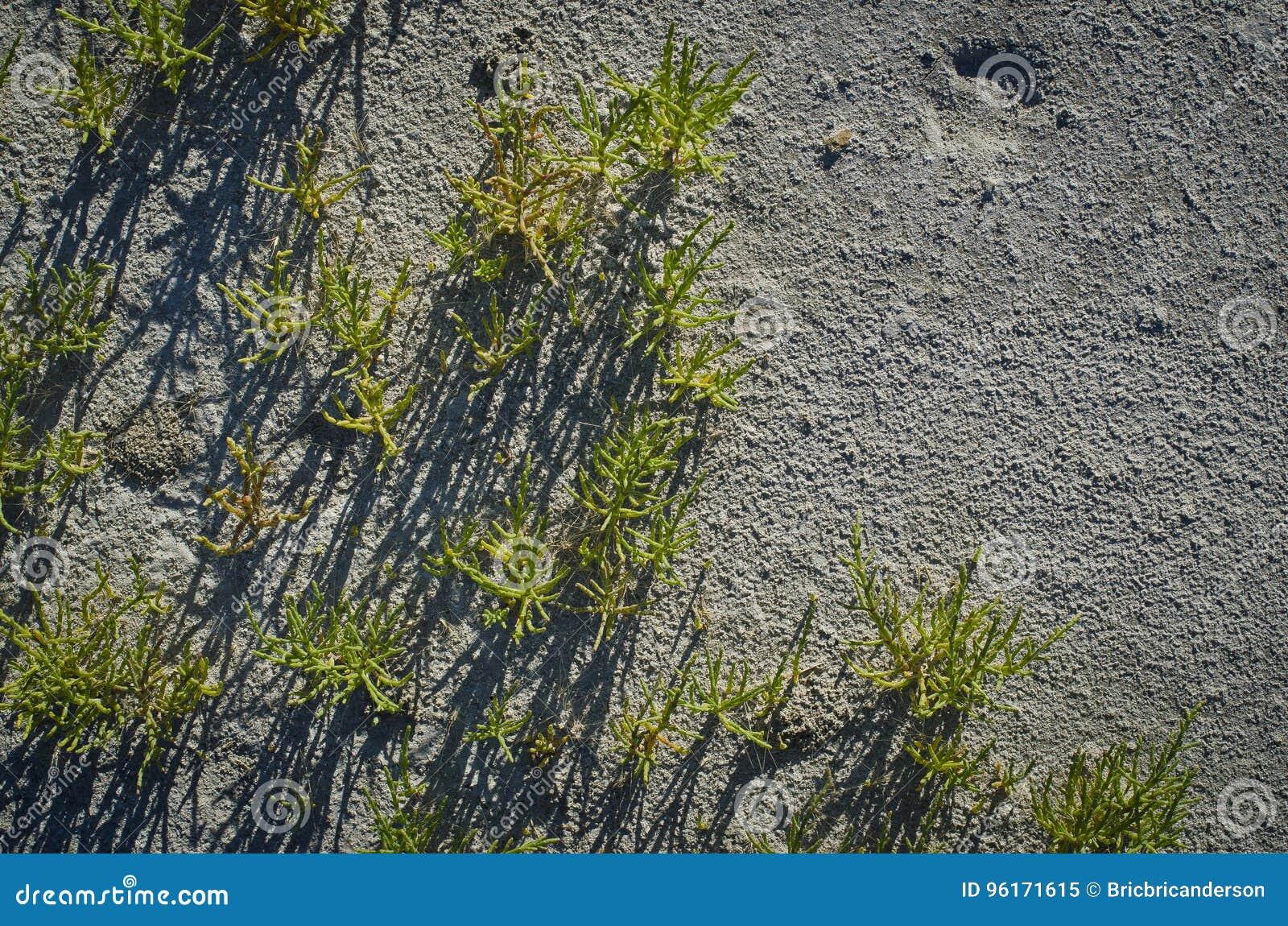 Трава в солёном песке