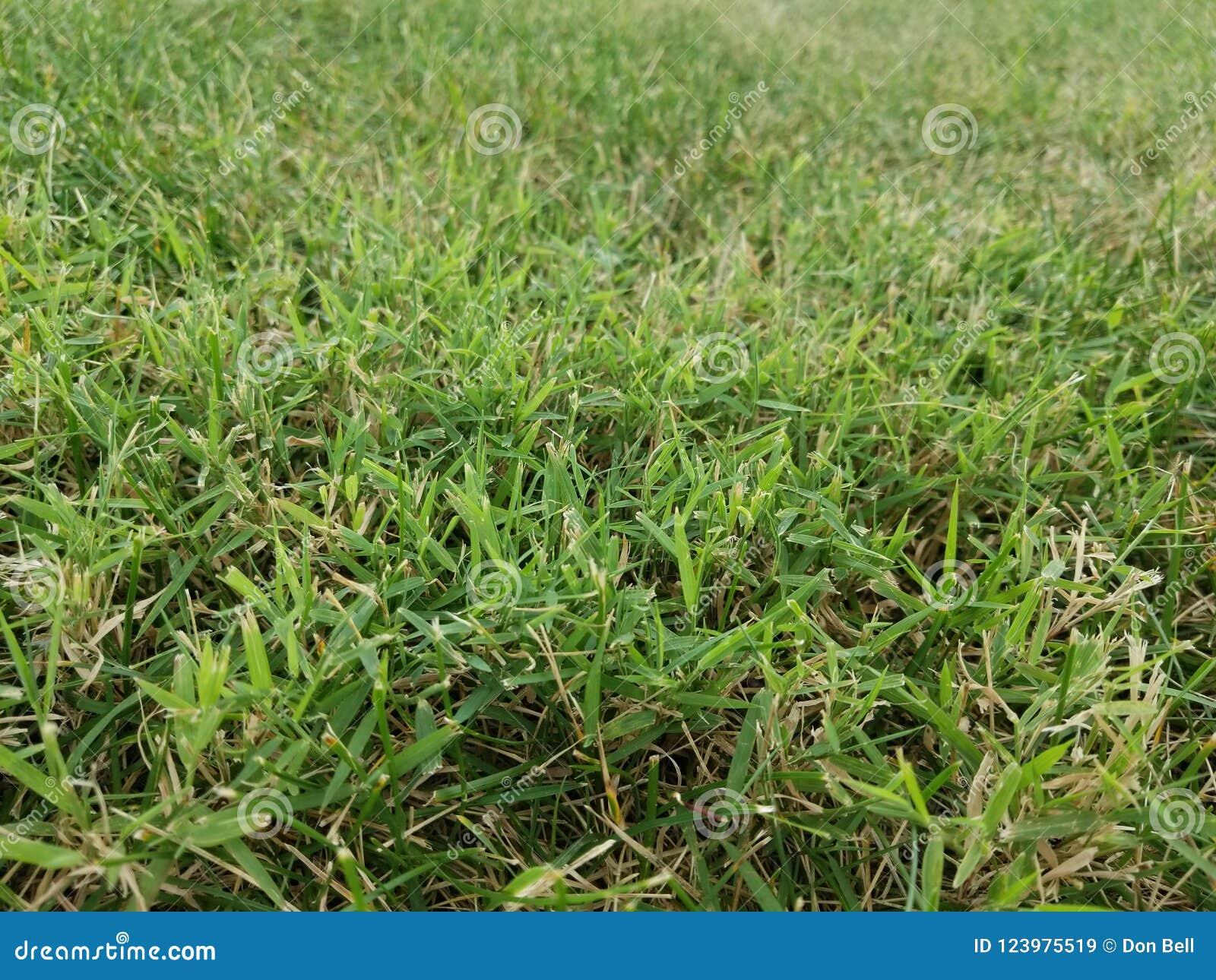 Трава засорителя Nimblewill