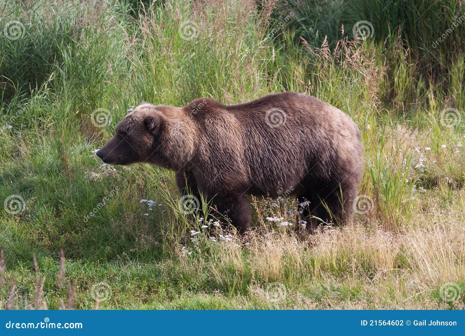 трава медведя коричневая прибрежная