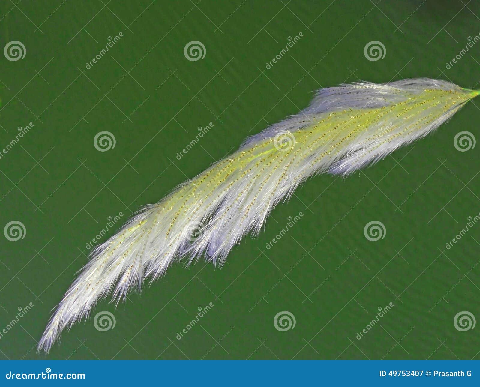 Трава пера Пампаса шаблона