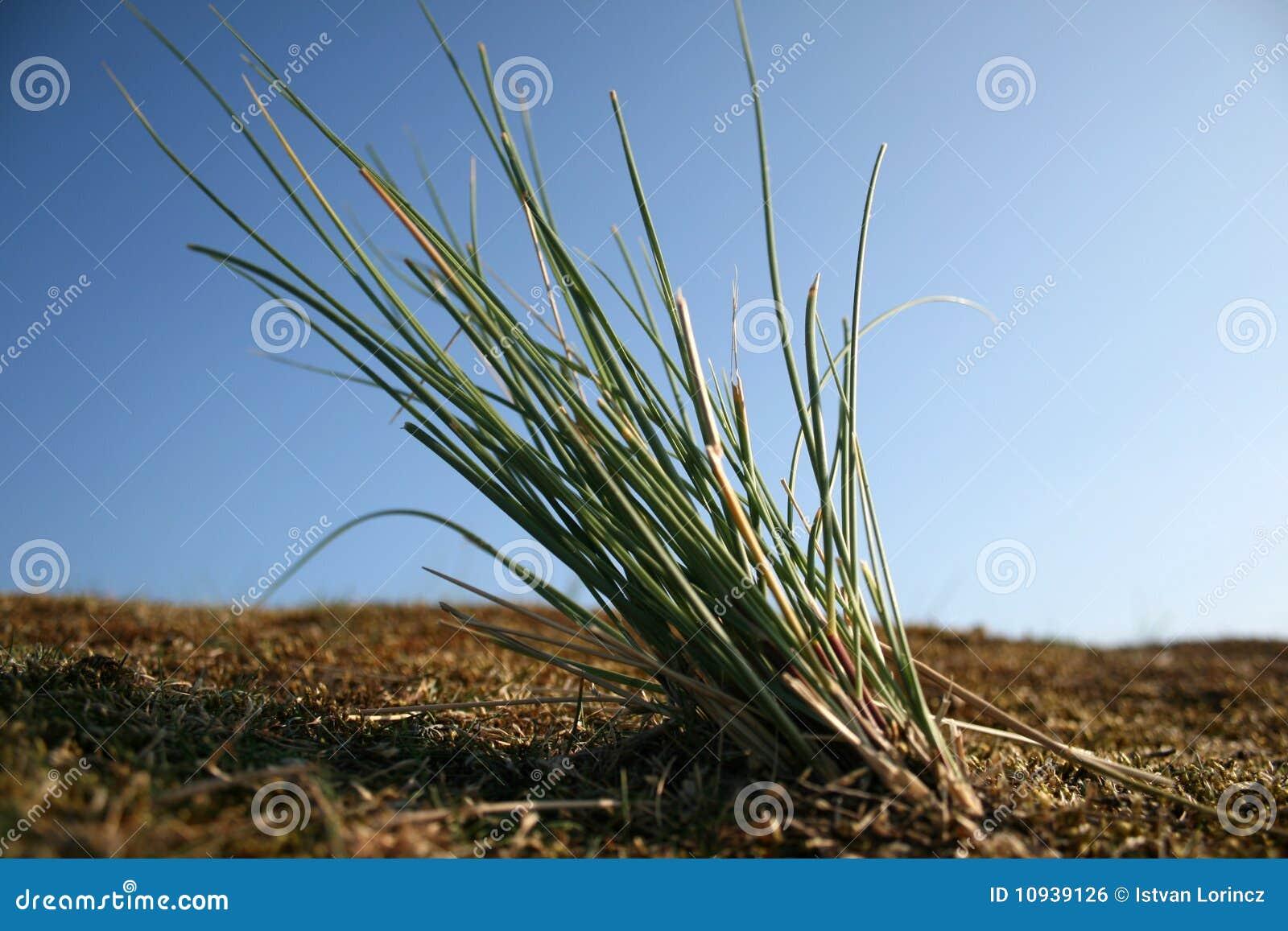 трава пляжа