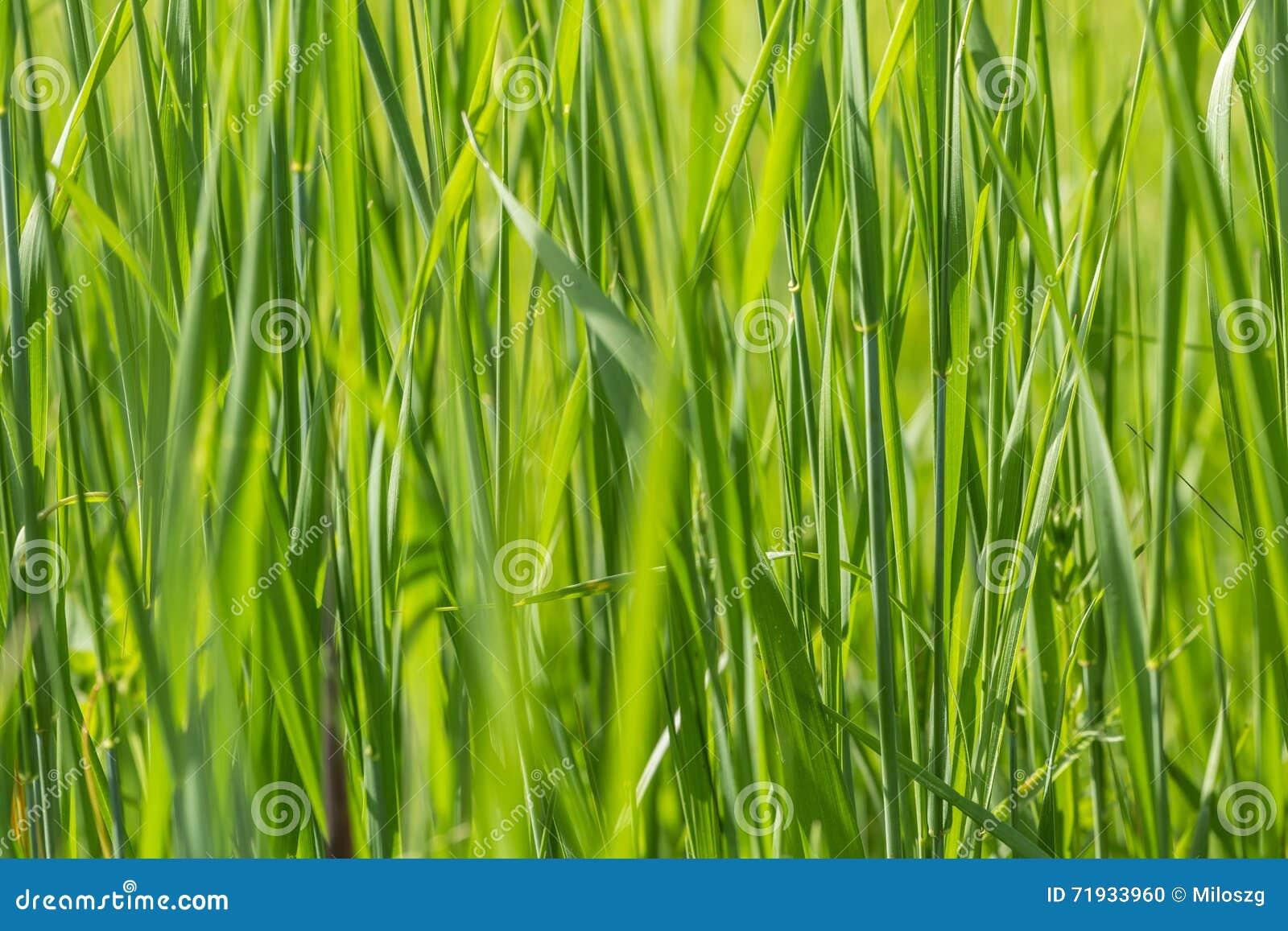 трава предпосылки одичалая