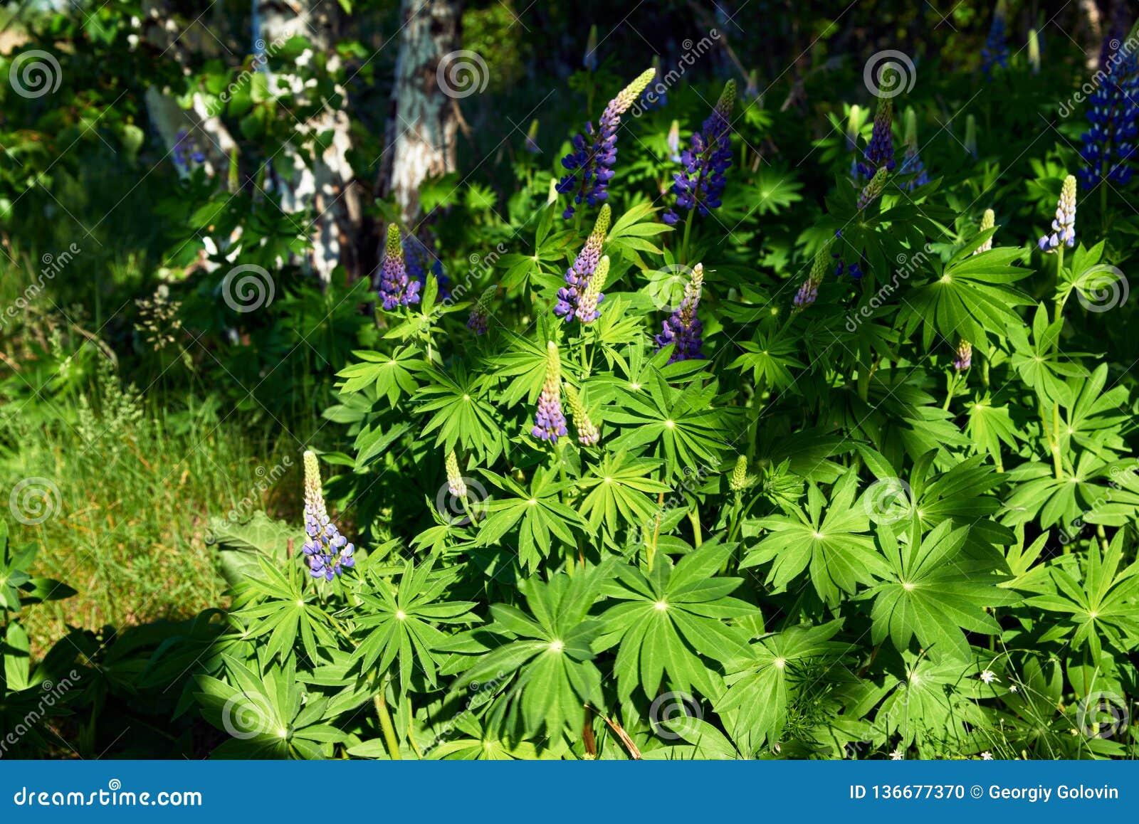 Травянистое поле с фиолетовой съемкой тележки Lupines
