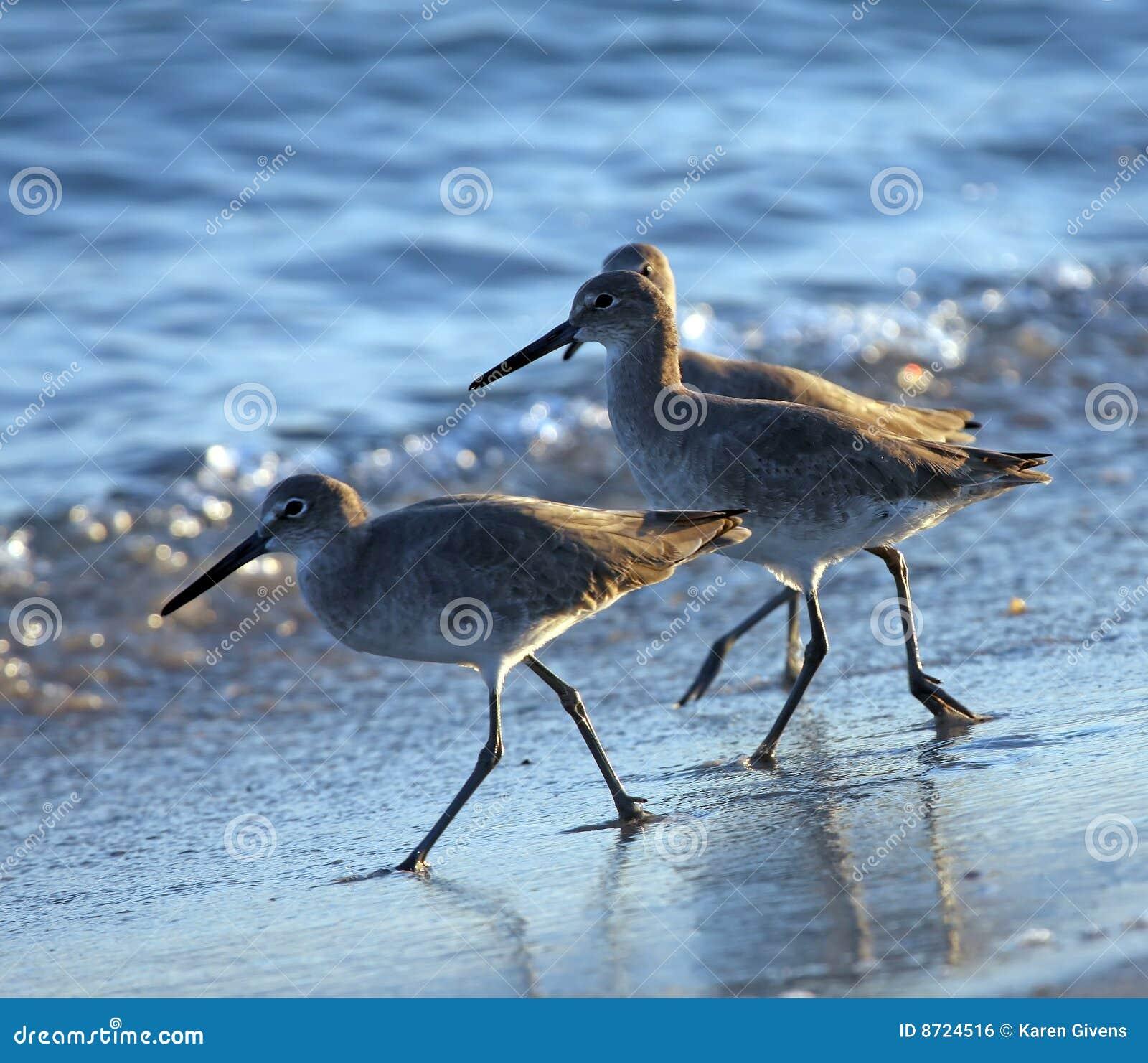 трио shorebirds