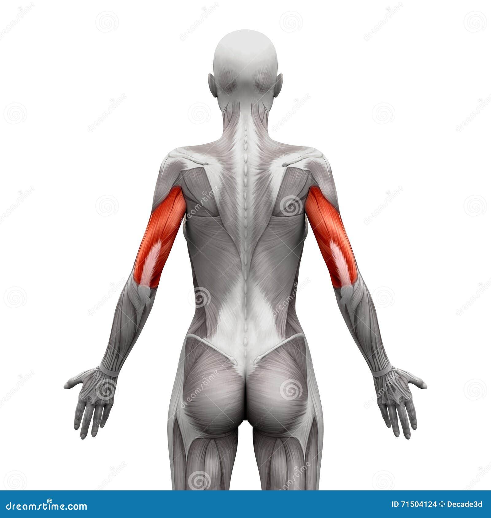 Трицепс Muscles - мышцы анатомии изолированные на бело- illustr 3D