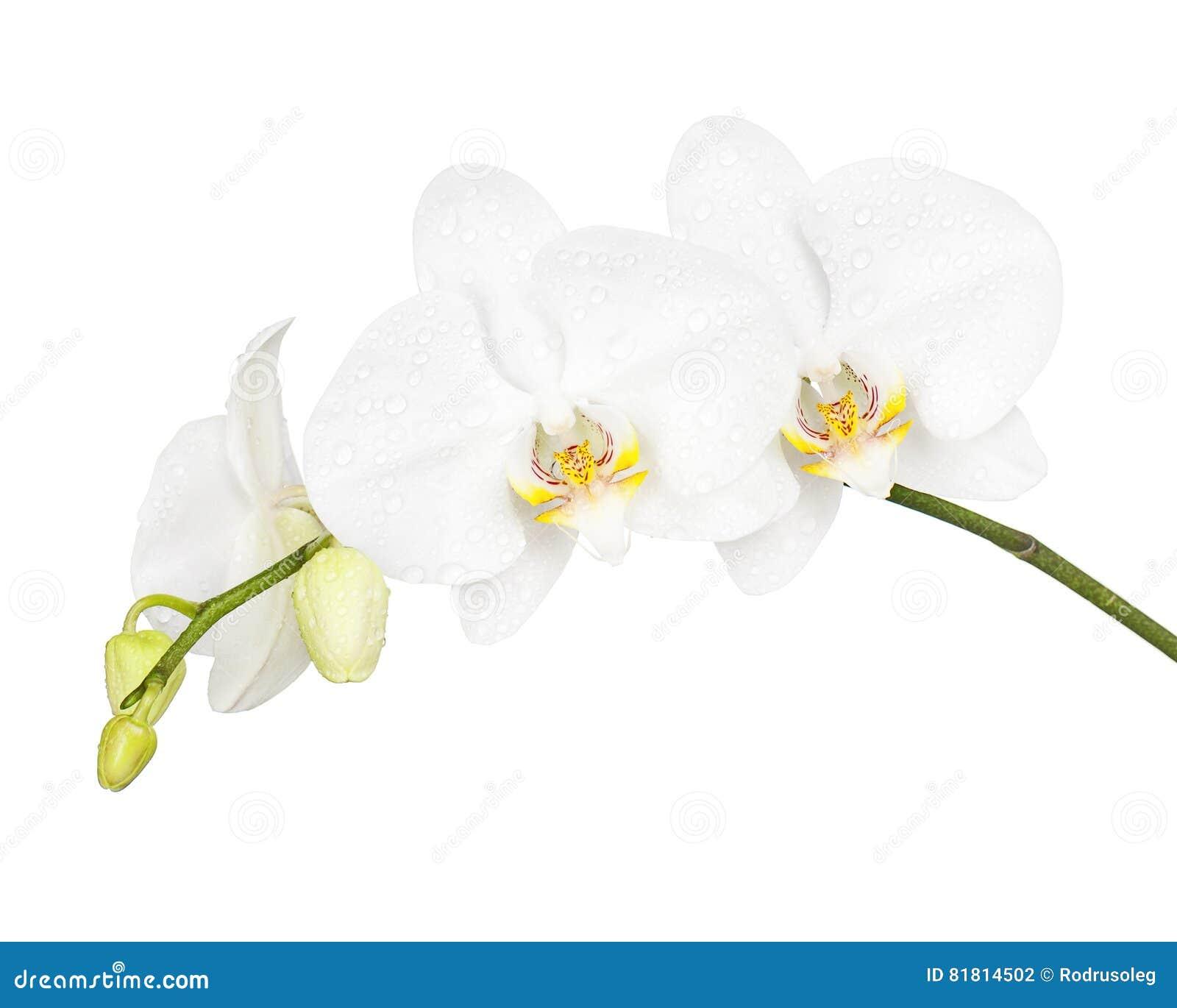 Тридневная старая орхидея изолированная на белой предпосылке