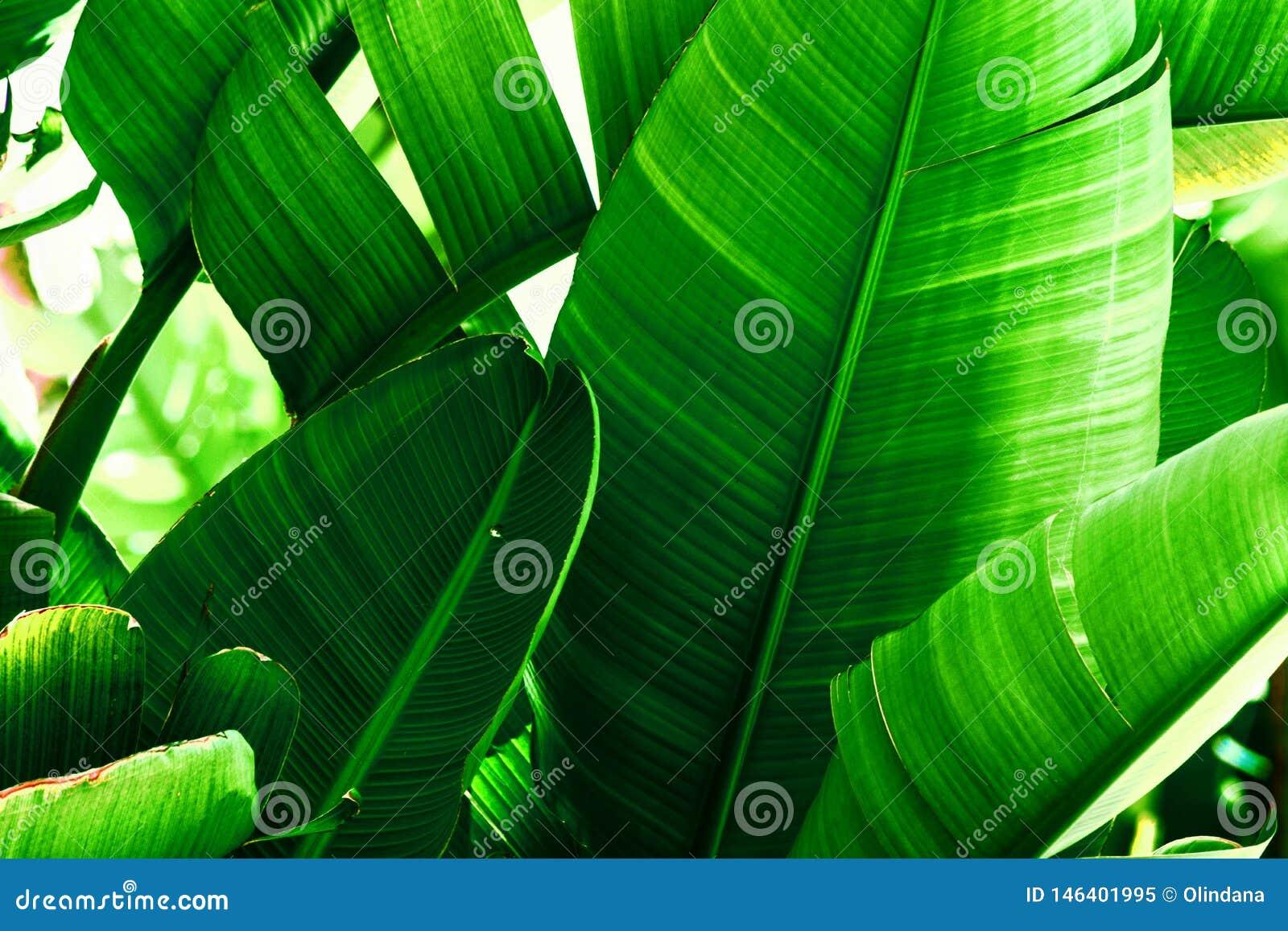 Тропическая предпосылка растительности природы Чаща пальм с большими листьями Насыщенный живой изумрудно-зеленый цвет