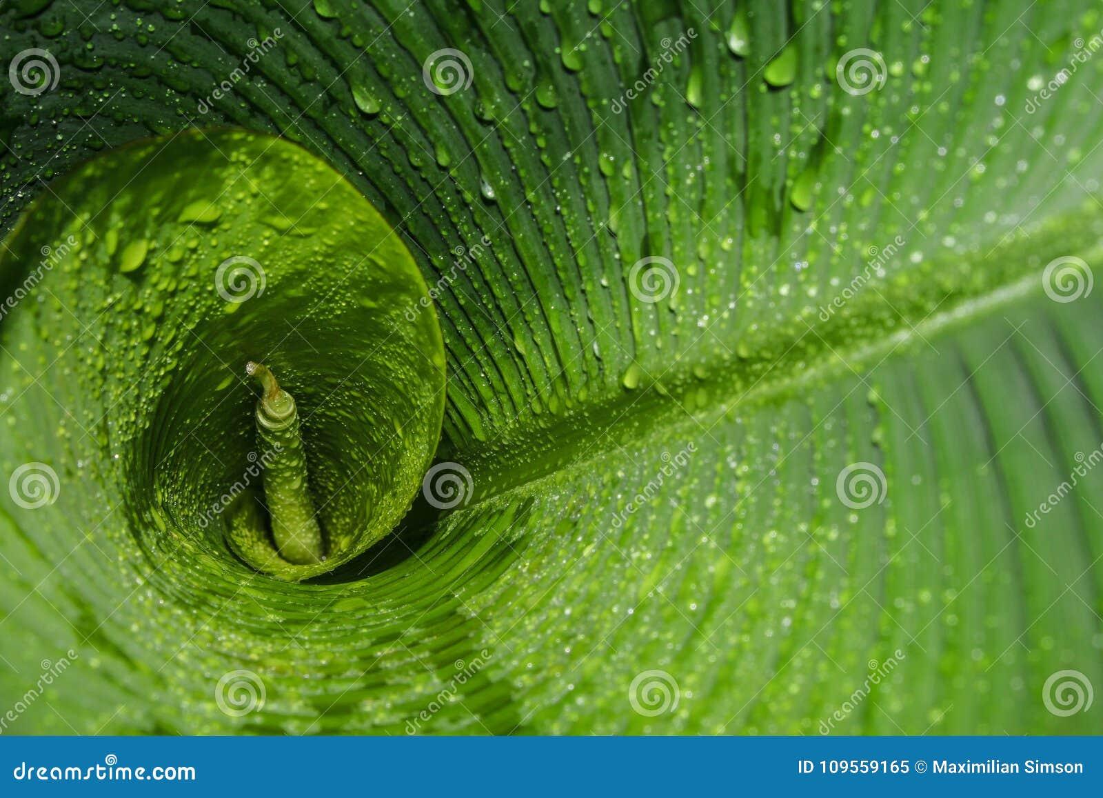 Тропические зеленые и влажные лист банана