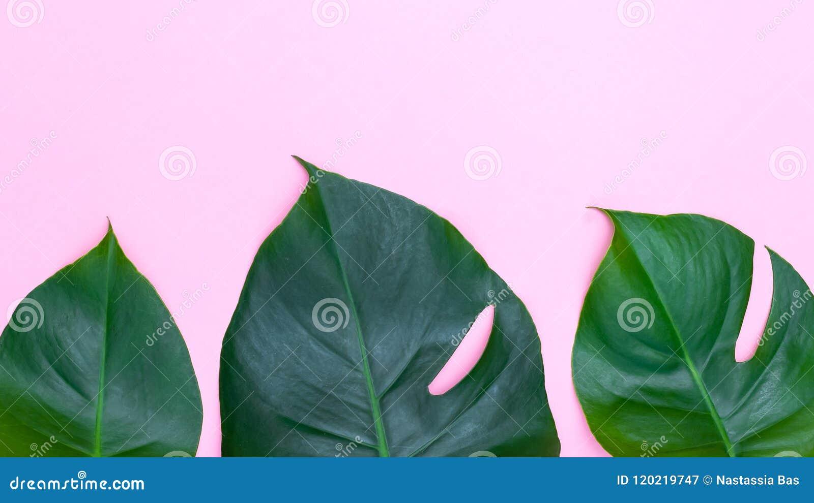 Тропические листья - monstera на розовой предпосылке Copyspace