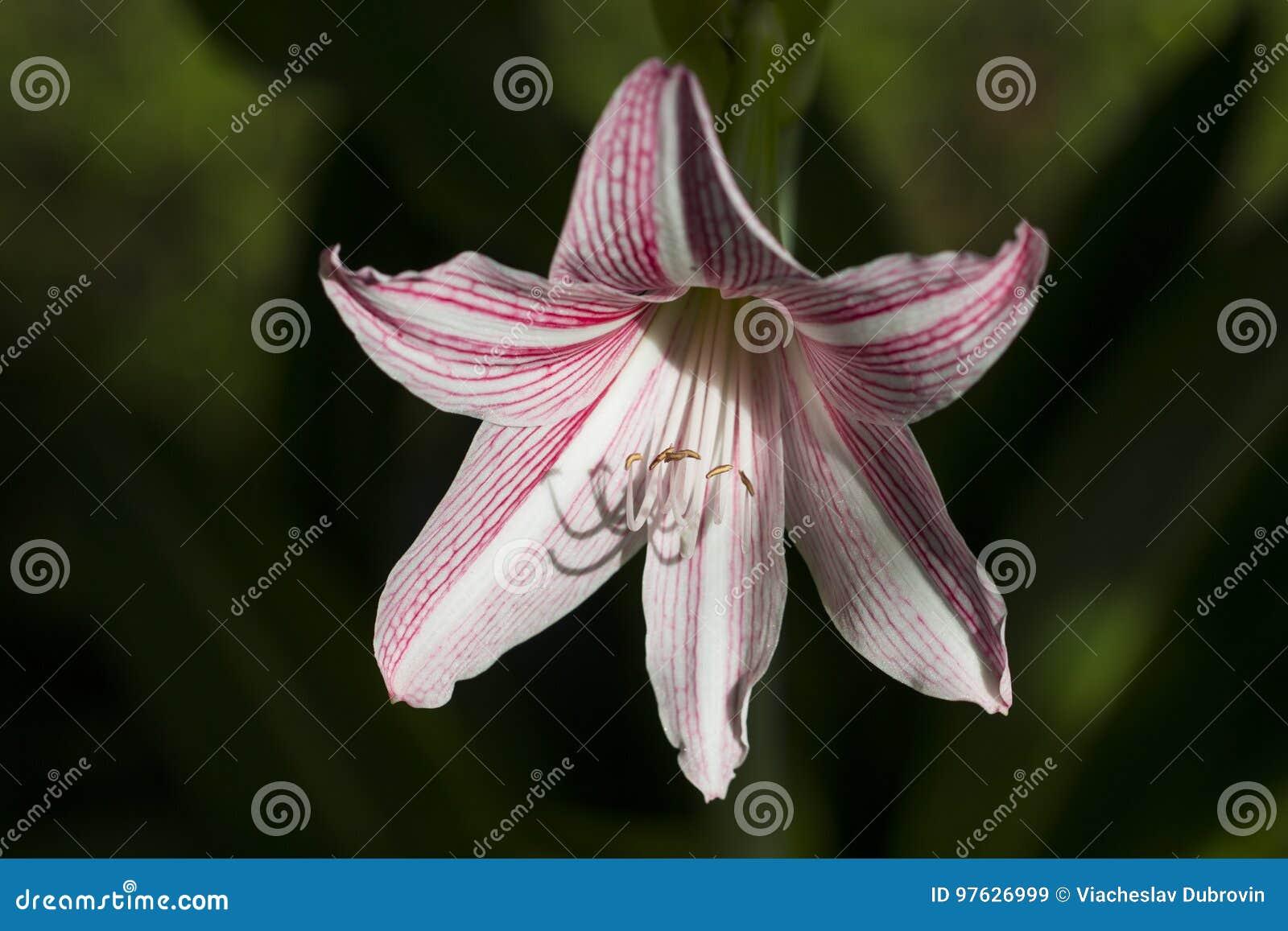 Тропический цветок в солнечном фото сада Белая и розовая лилия в тропическом саде
