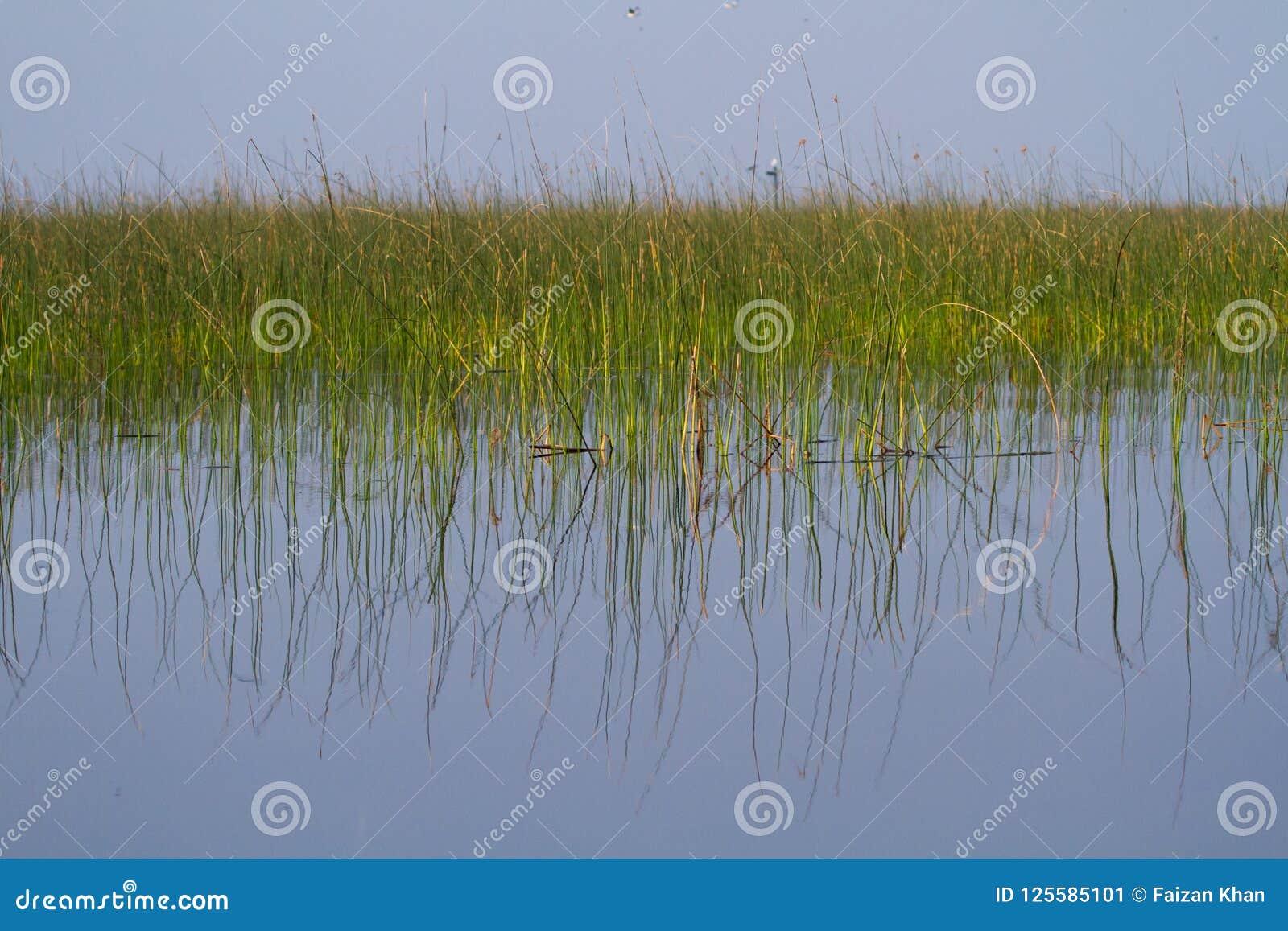 Тростники в воде