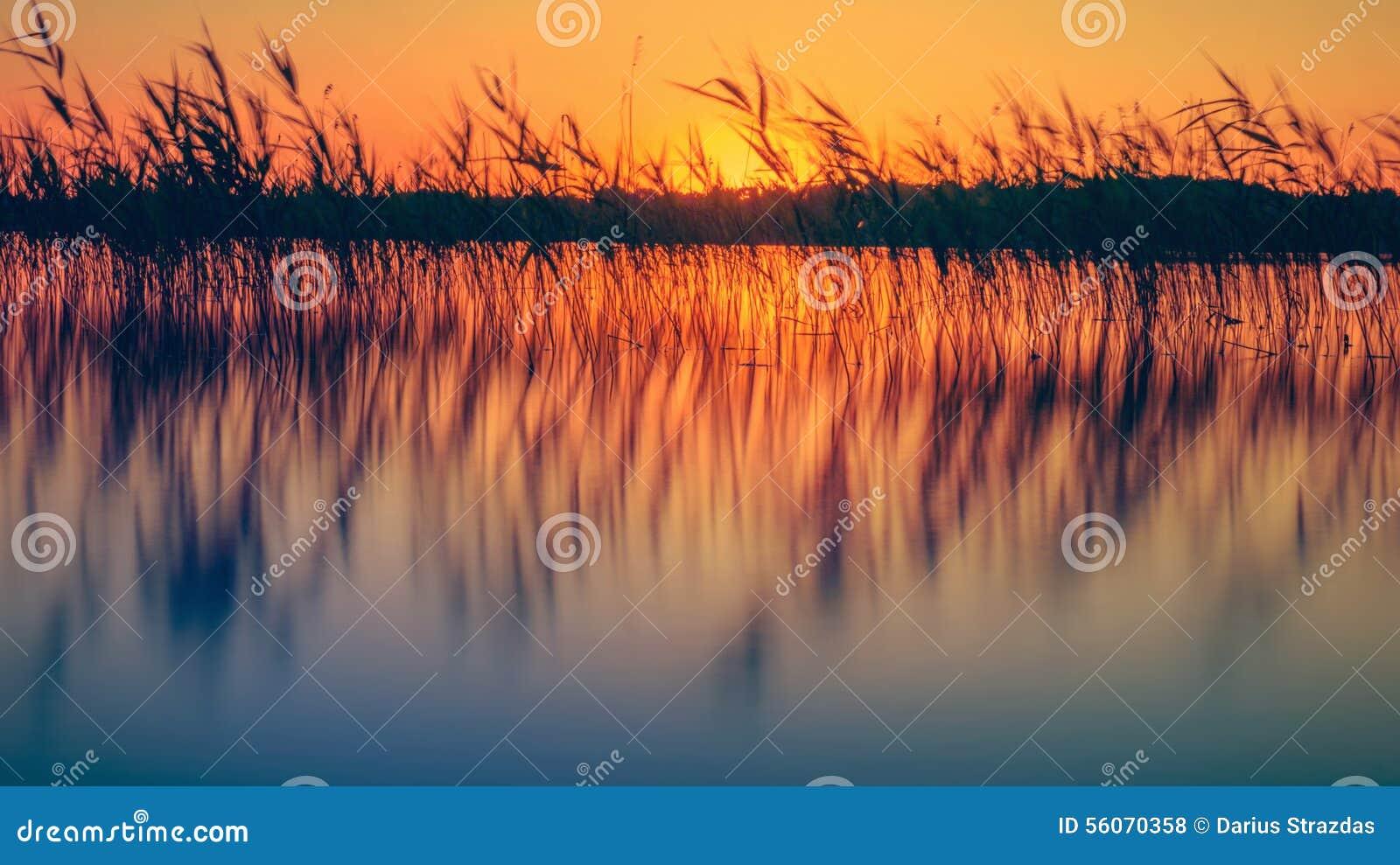 Тростники в озере на заходе солнца