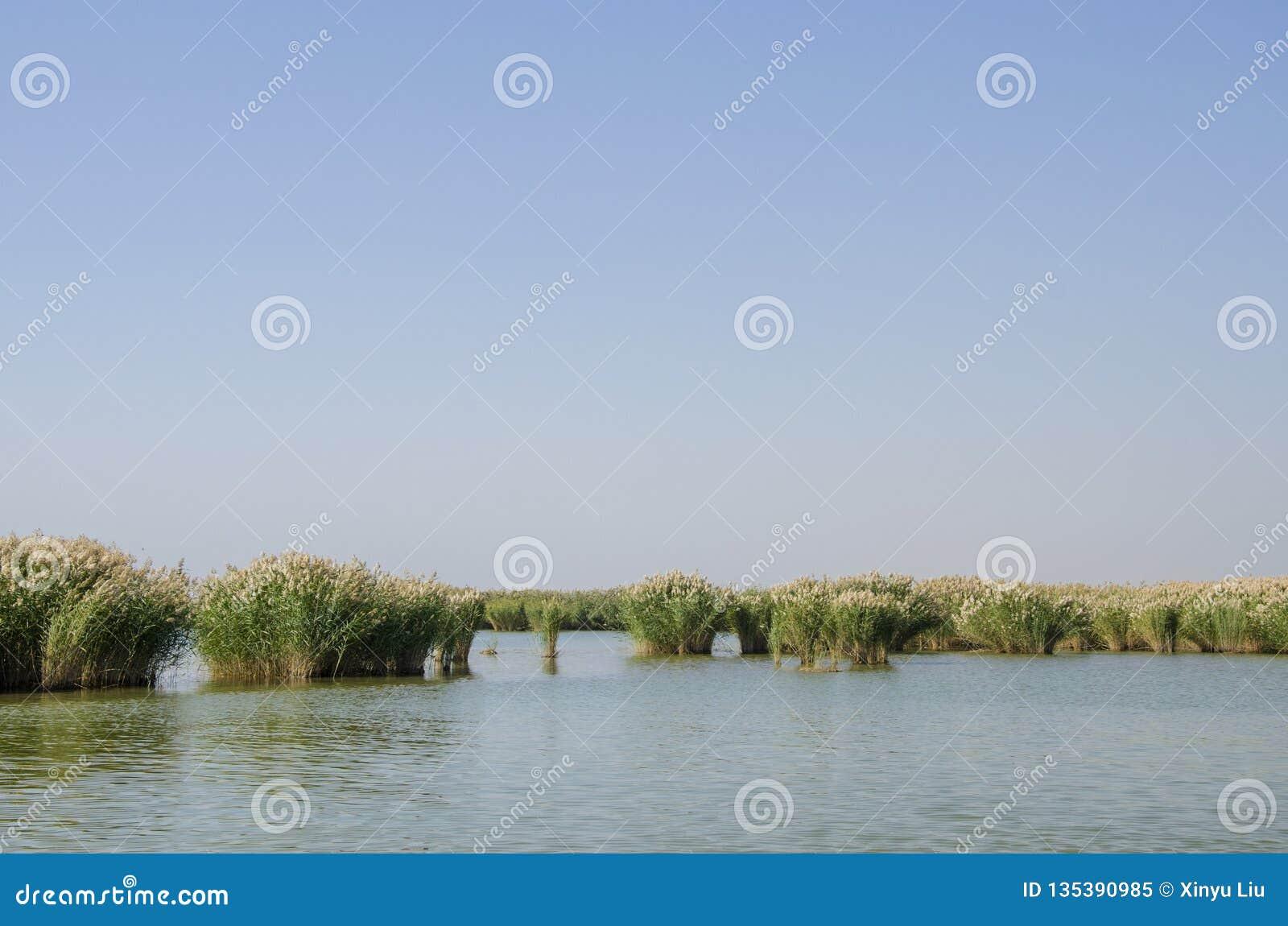 Тростники в озере