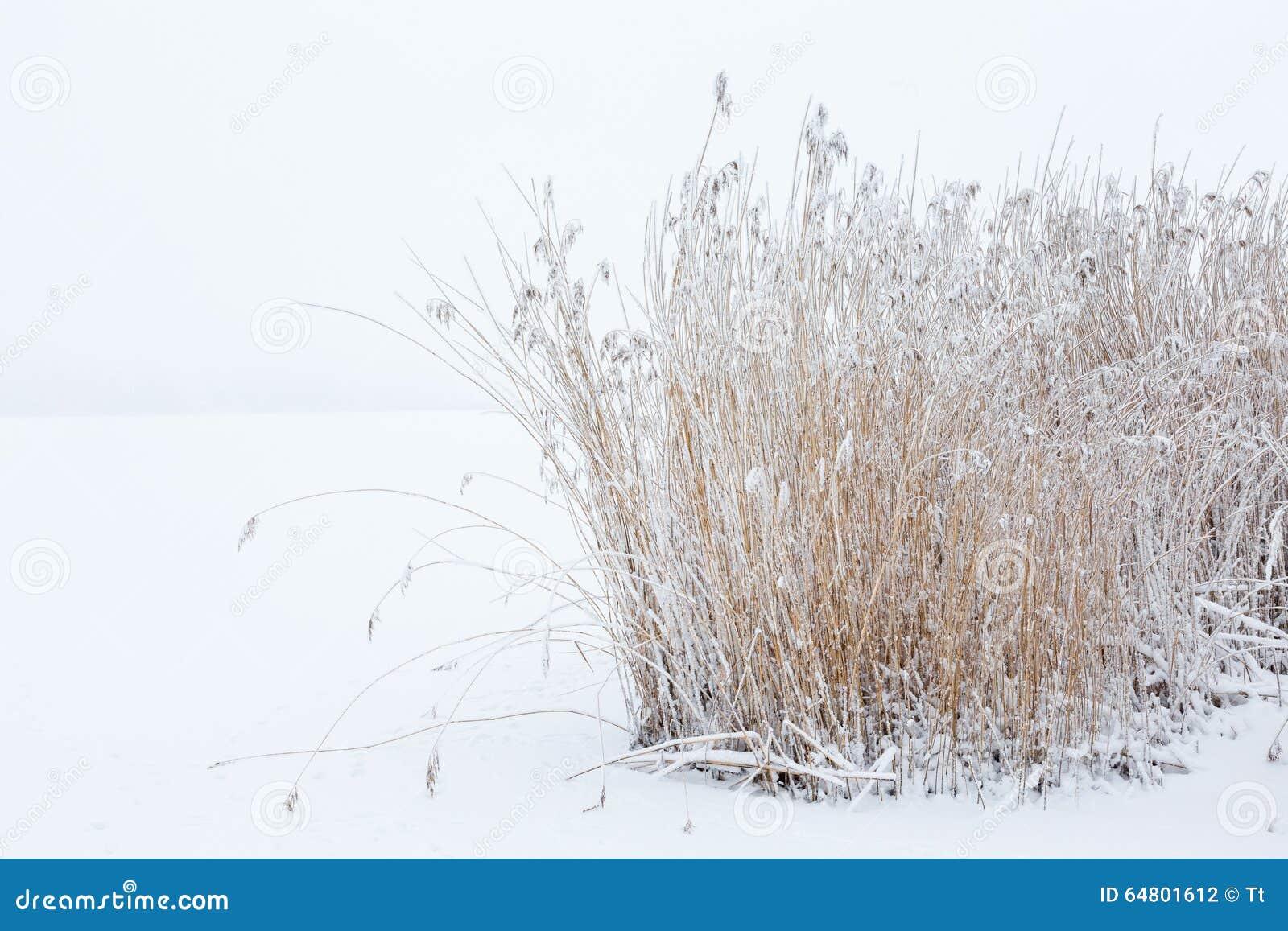 Тростники в снежной зиме