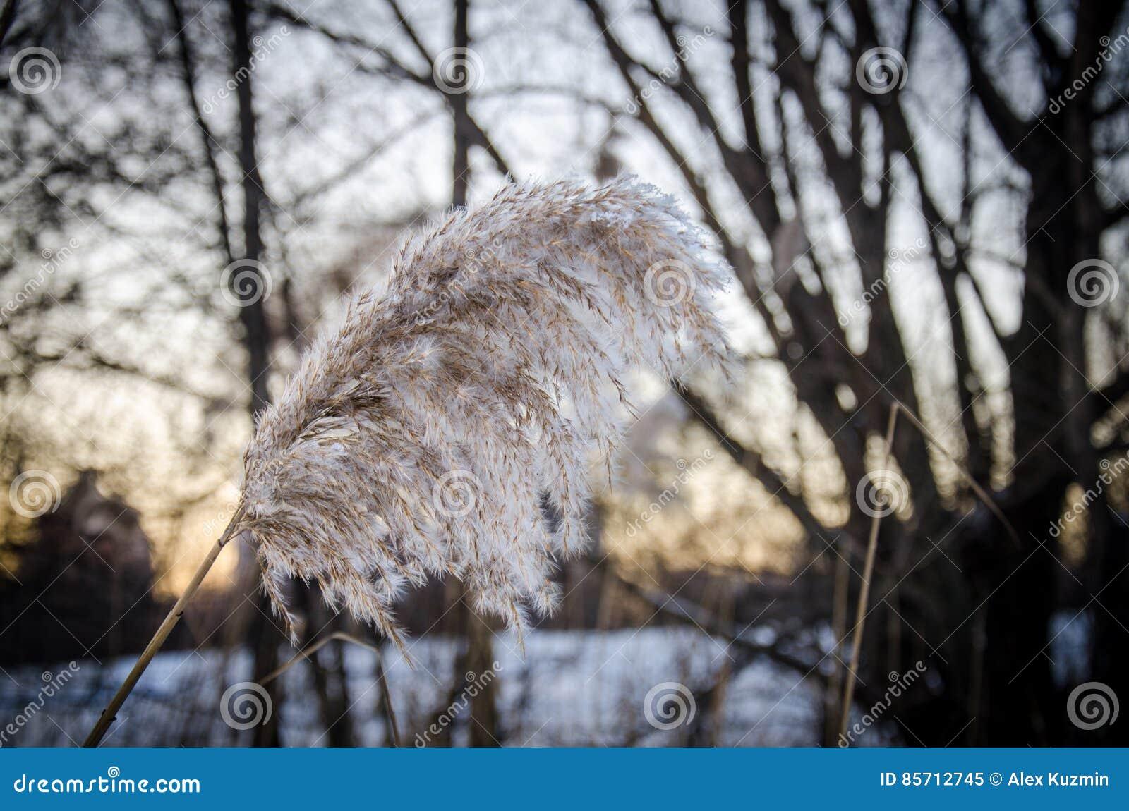 Тростники зимы