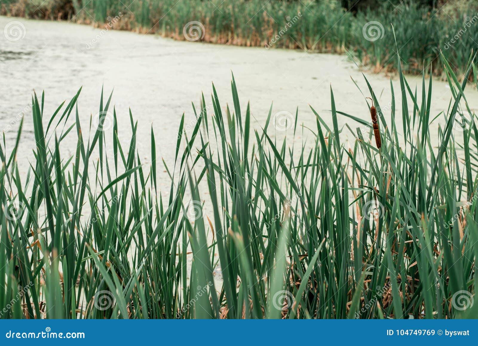 Тростники озером, весенним днем, в природе, пруд перерастанный с травой, в парке в раннем утре