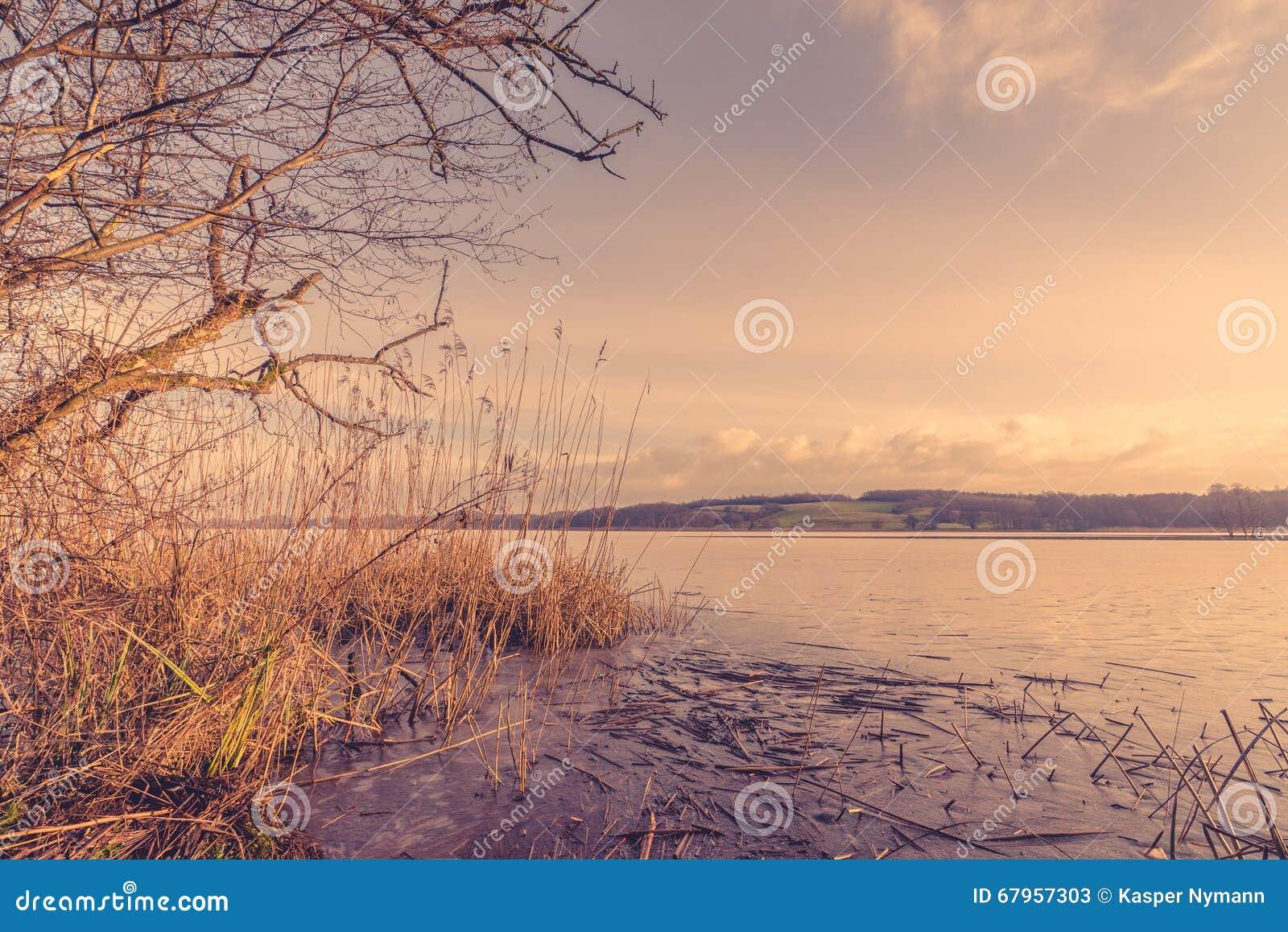 Тростники озером в утре