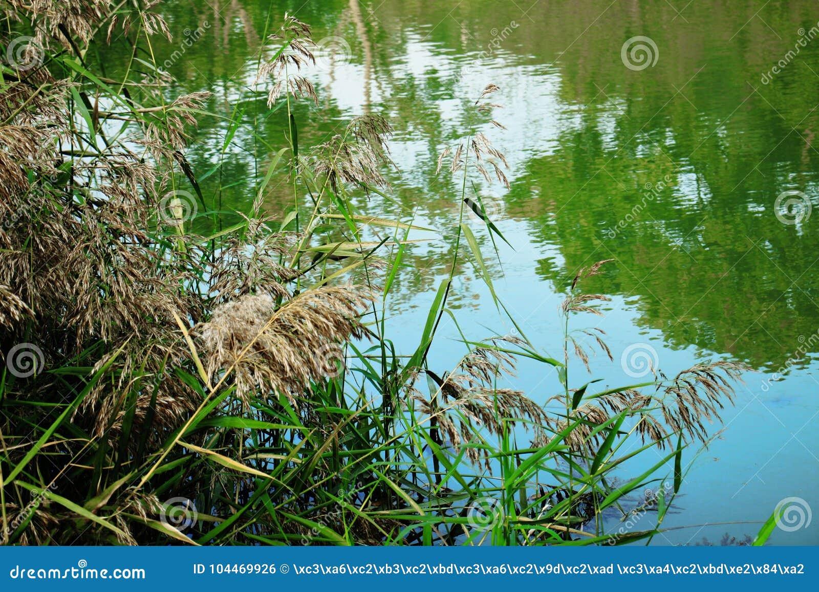 Тростники озером