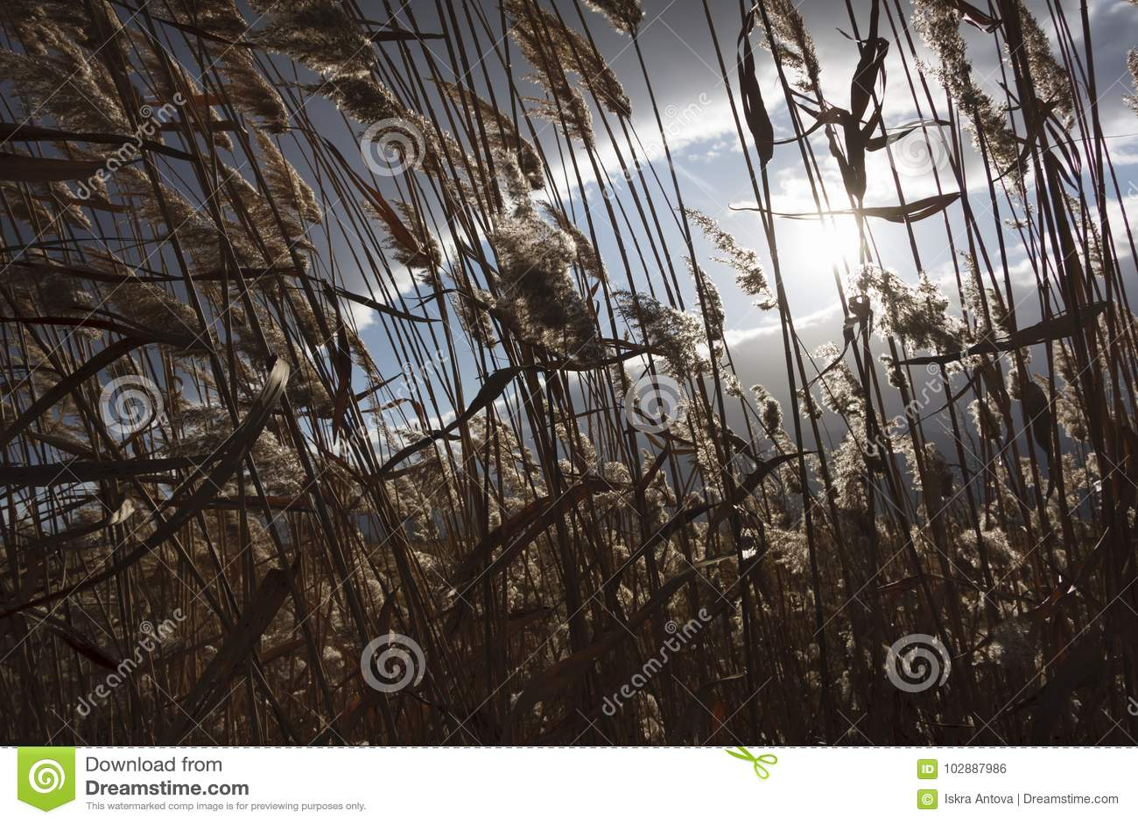 Тростники, bulrush, против облачного неба Ландшафт осени