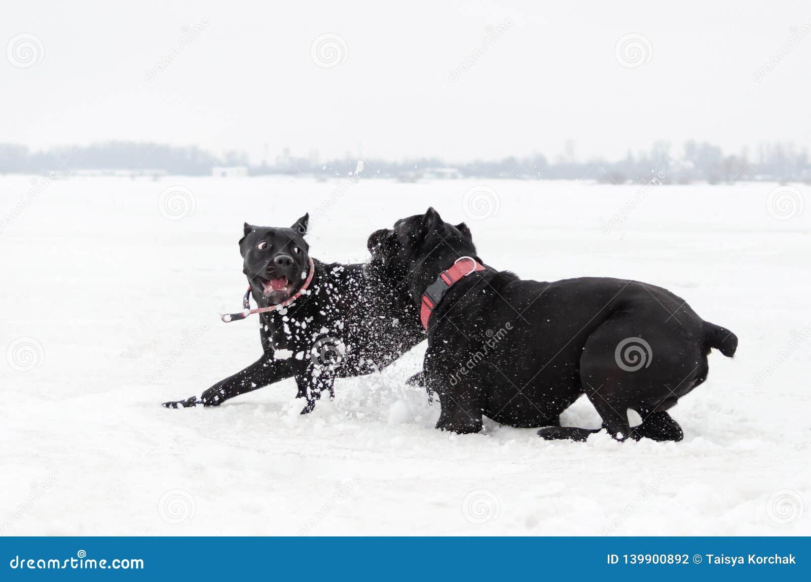 Тросточка Corso Игра собак друг с другом