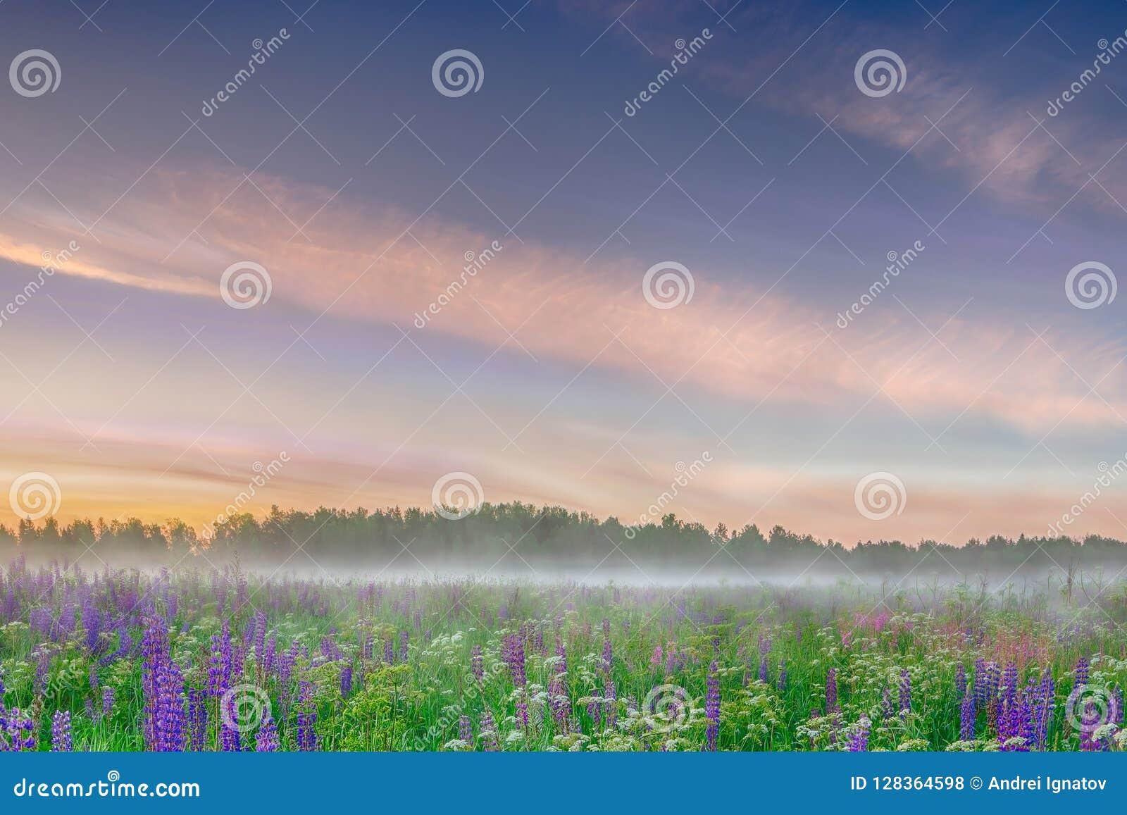 Туманное утро на поле одичалого голубого lupinus цветет Красивейший ландшафт