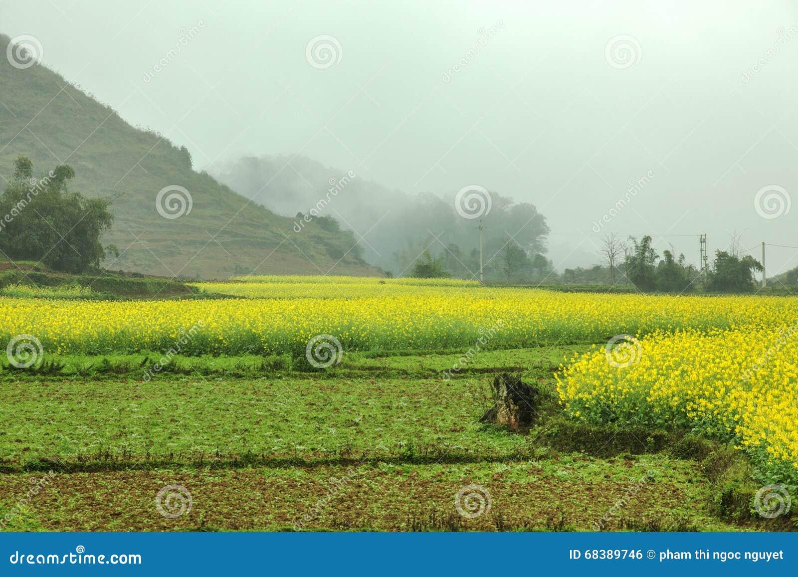 Туман и канола ландшафт поля