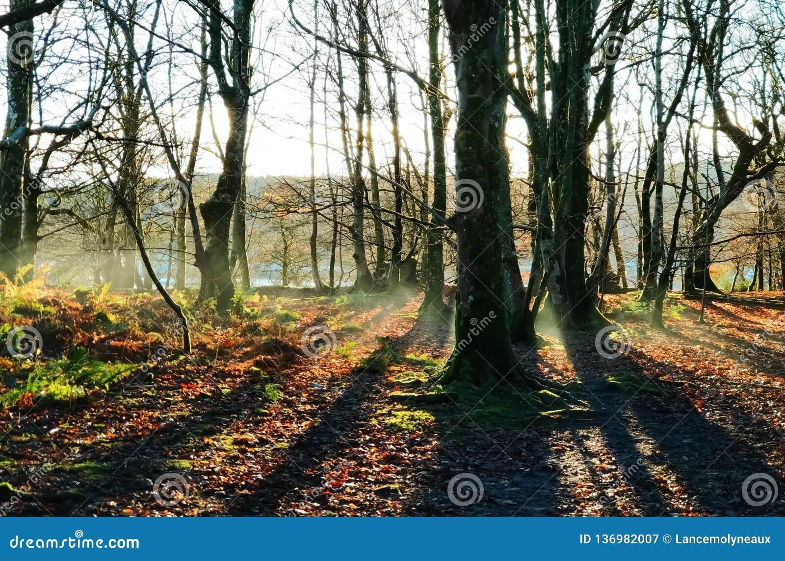 Туман осени раннего утра поднимает в пустой лес