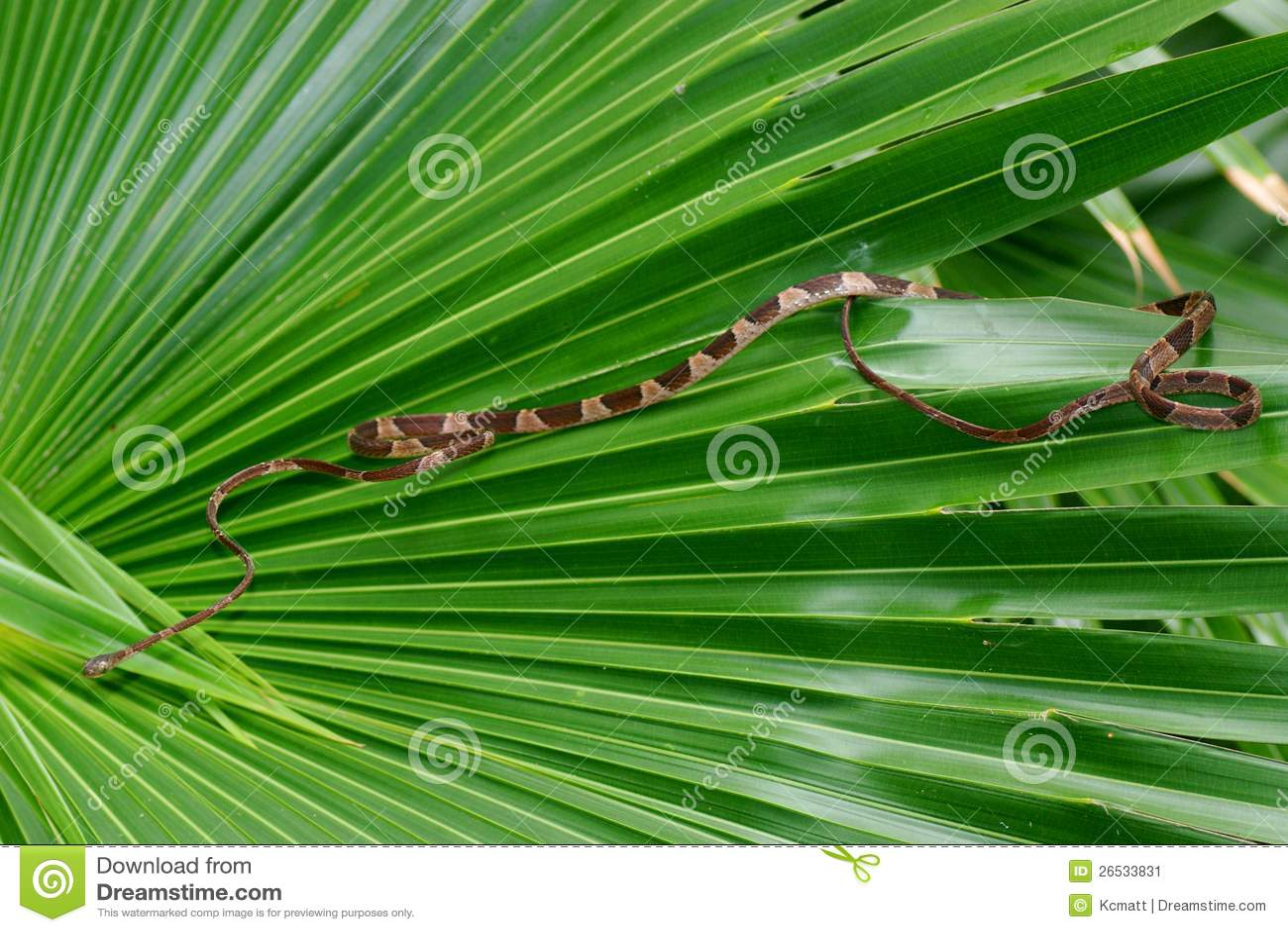 Туп-возглавленная змейка вала, cenchoa Imantodes