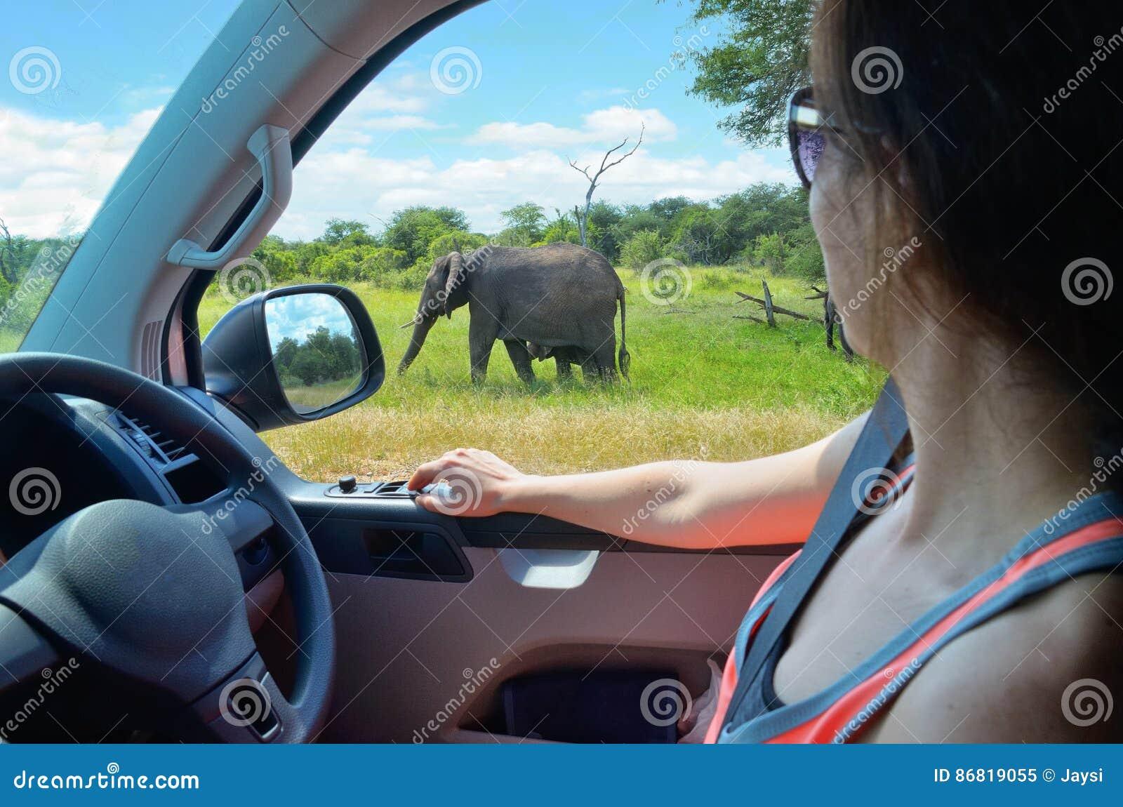 Турист женщины на каникулах автомобиля сафари в Южной Африке, смотря слона в саванне